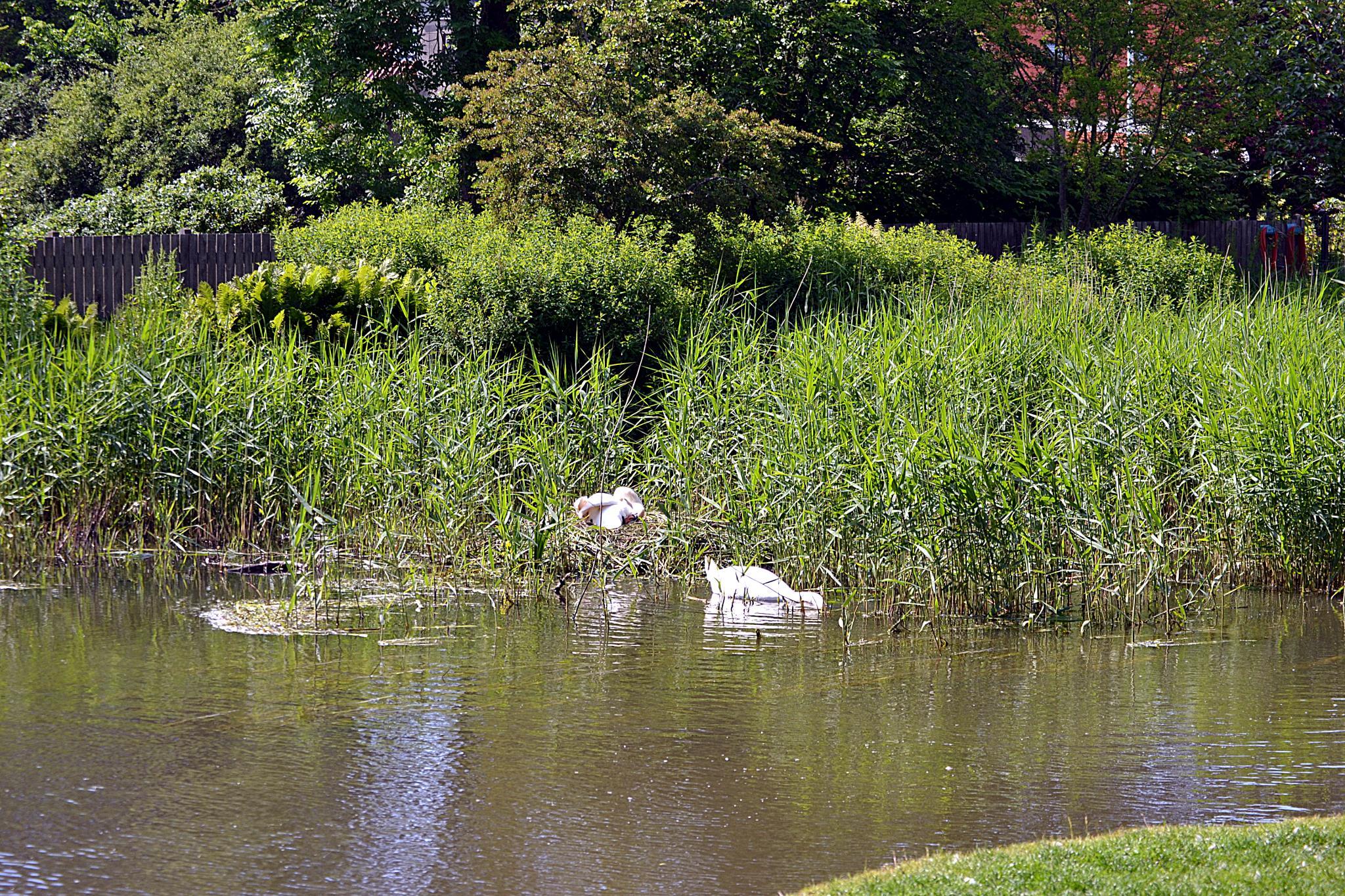 Swans  by teddy.pedersen3