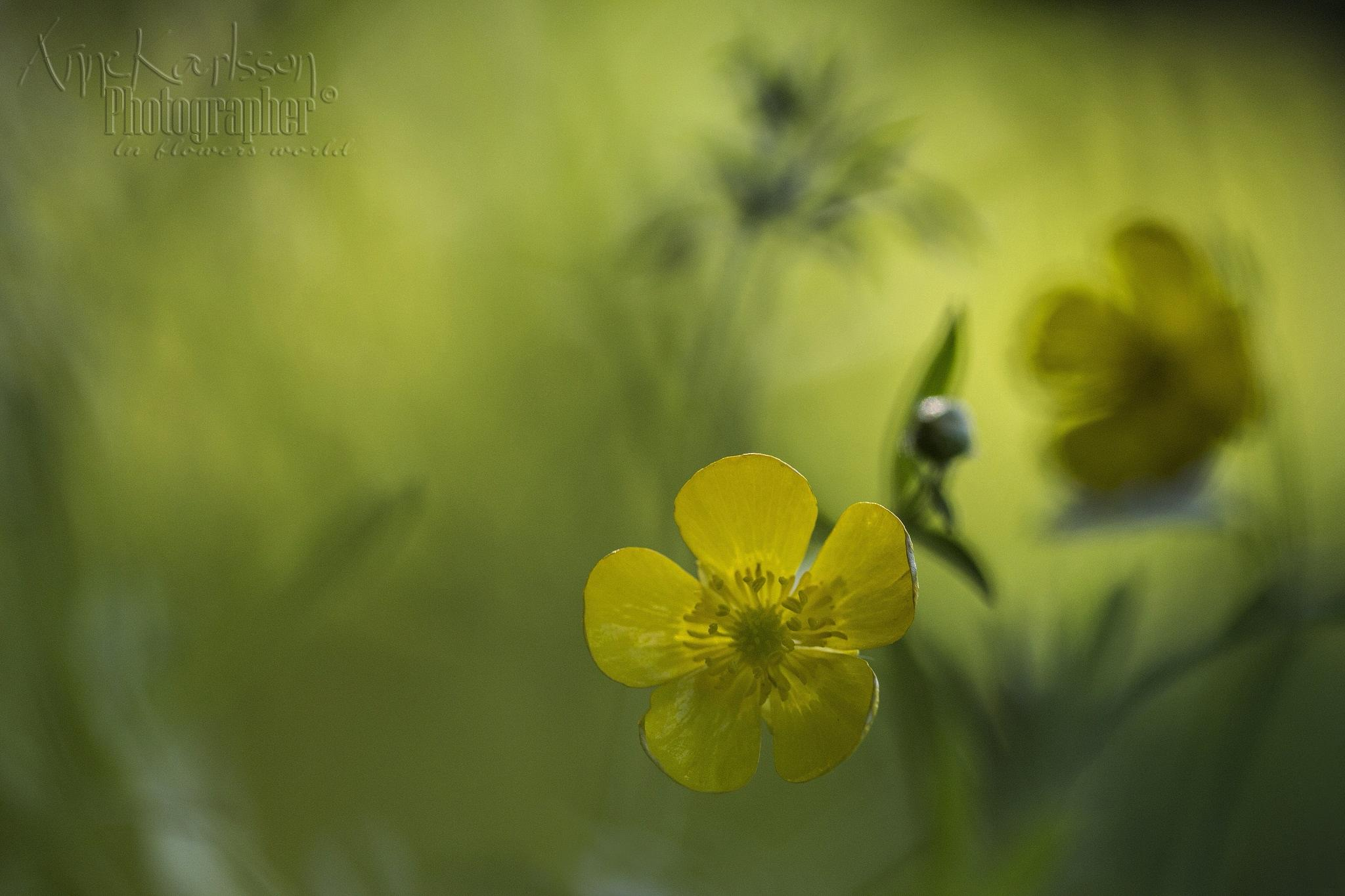 Buttercup in sunny glade by AnneKarlsson