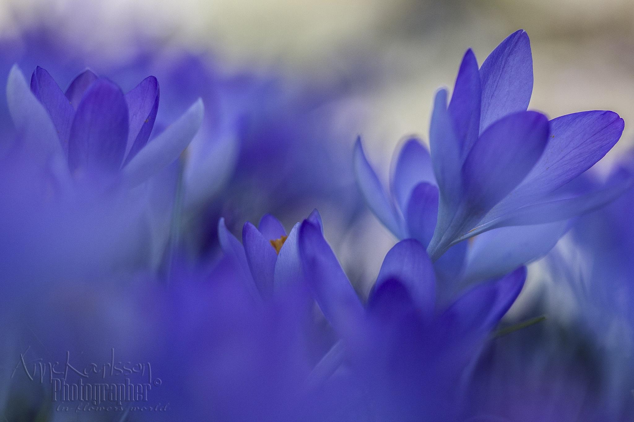 Purple shades by AnneKarlsson