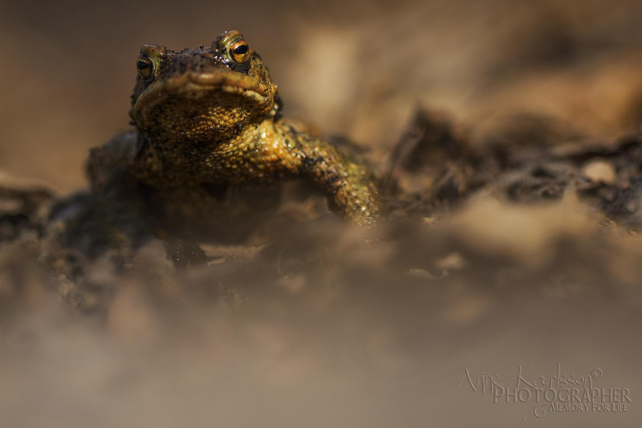Mr Frog by AnneKarlsson