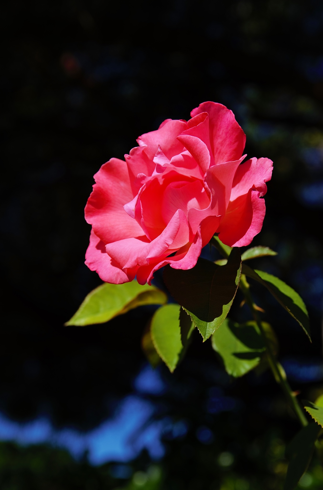 Pink Rose Next Door by David Amaral