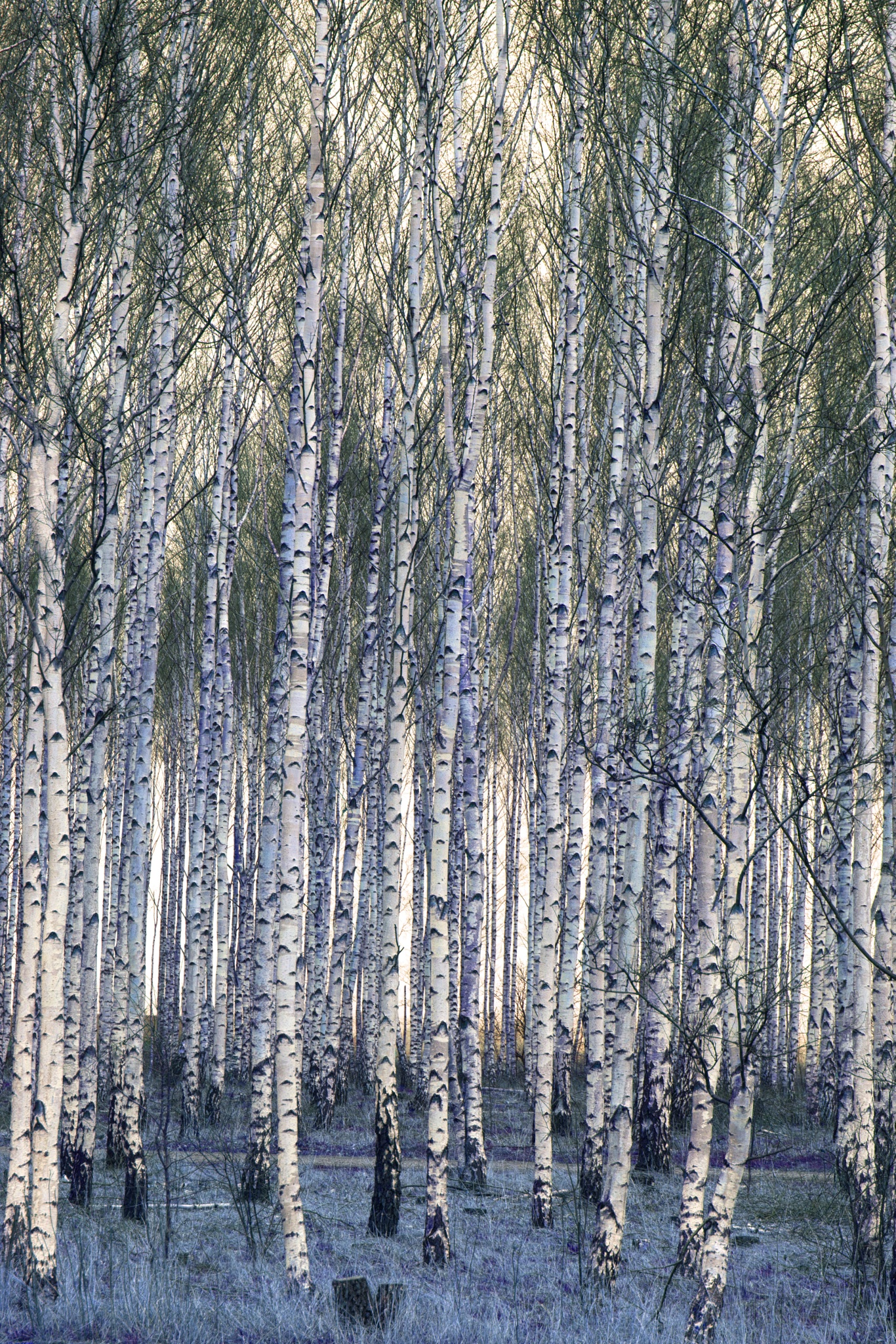 Birches by AvieW
