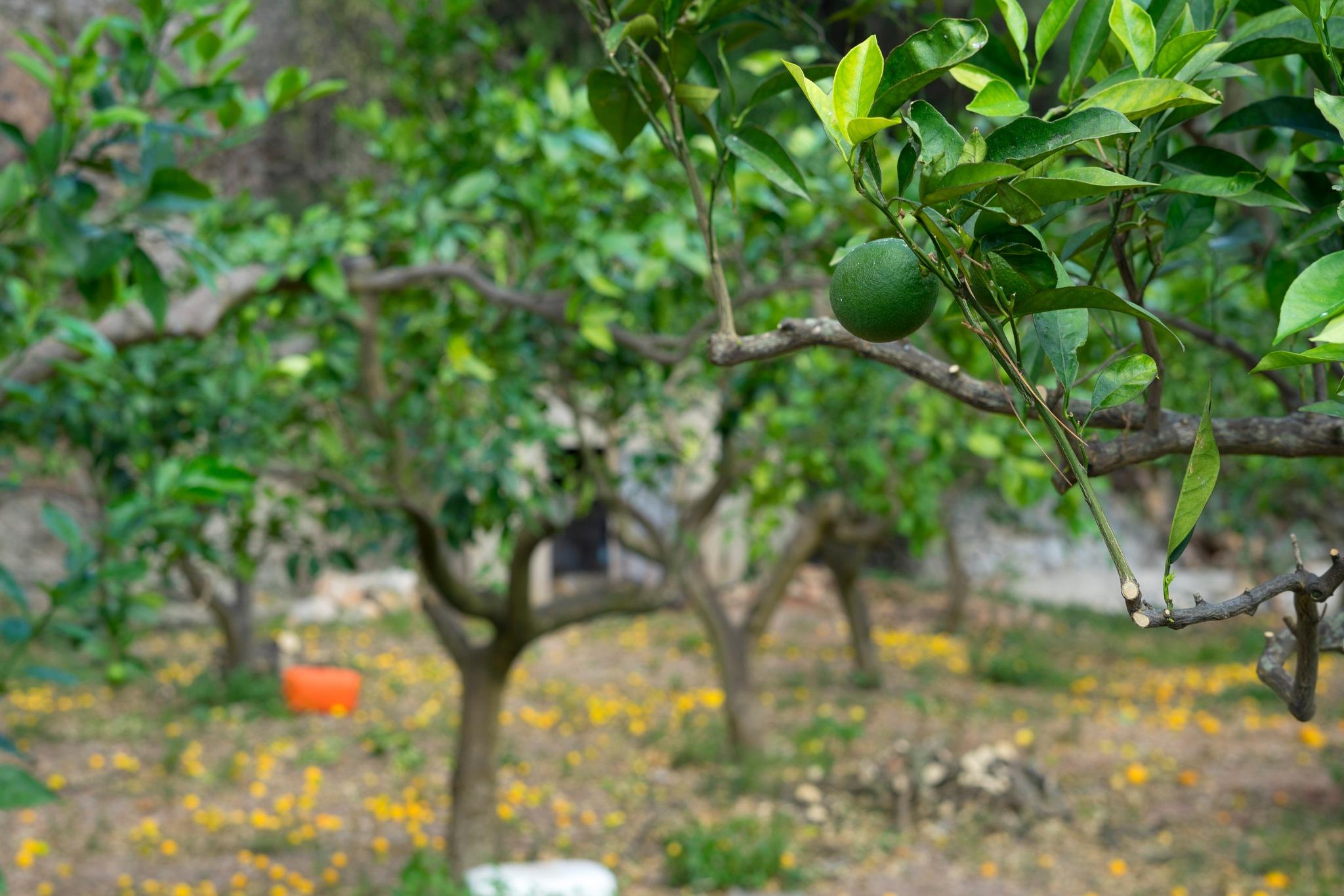 Orange grove by AvieW