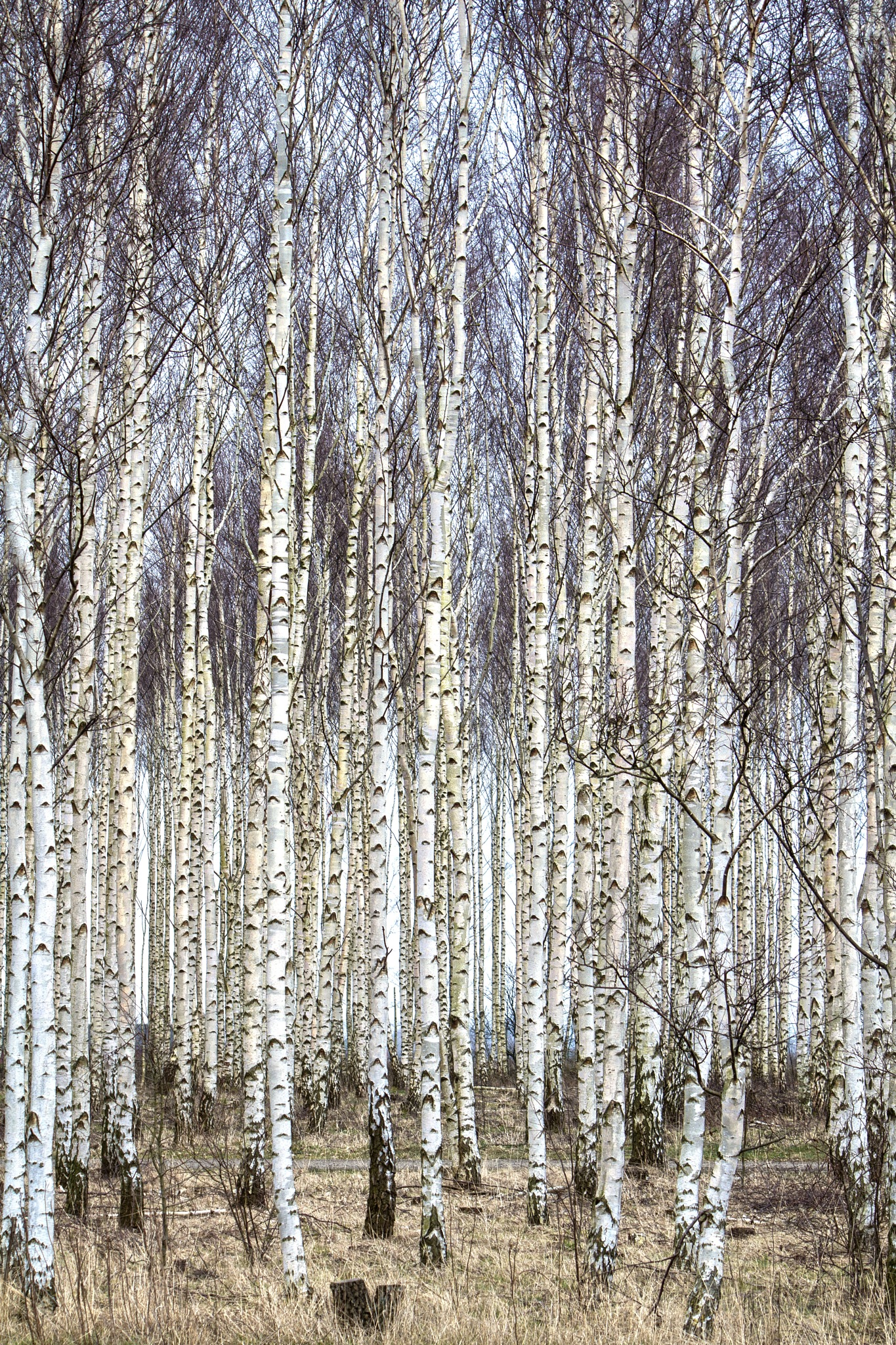 The birch forest by AvieW