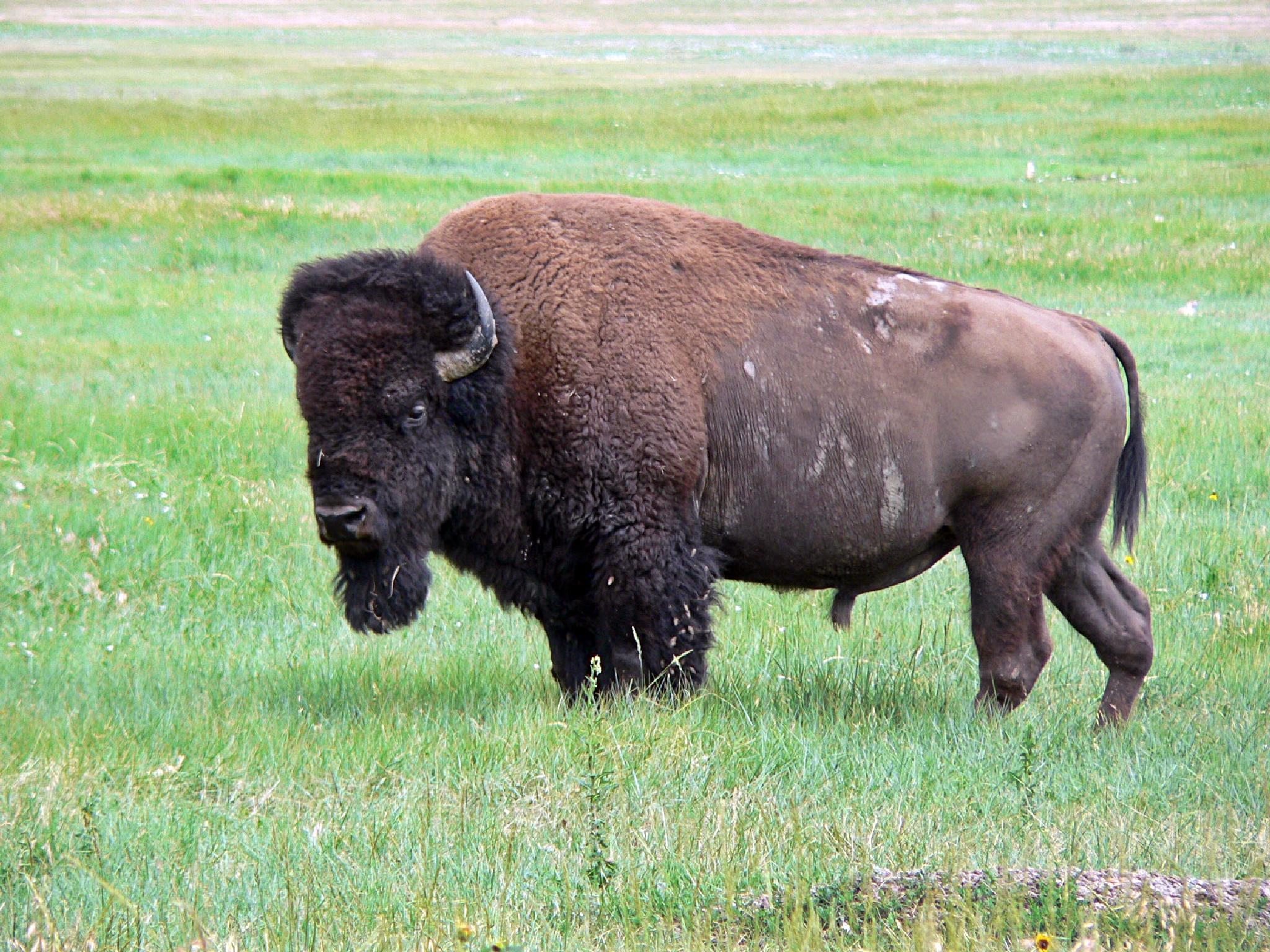 Buffalo by John Østergaard