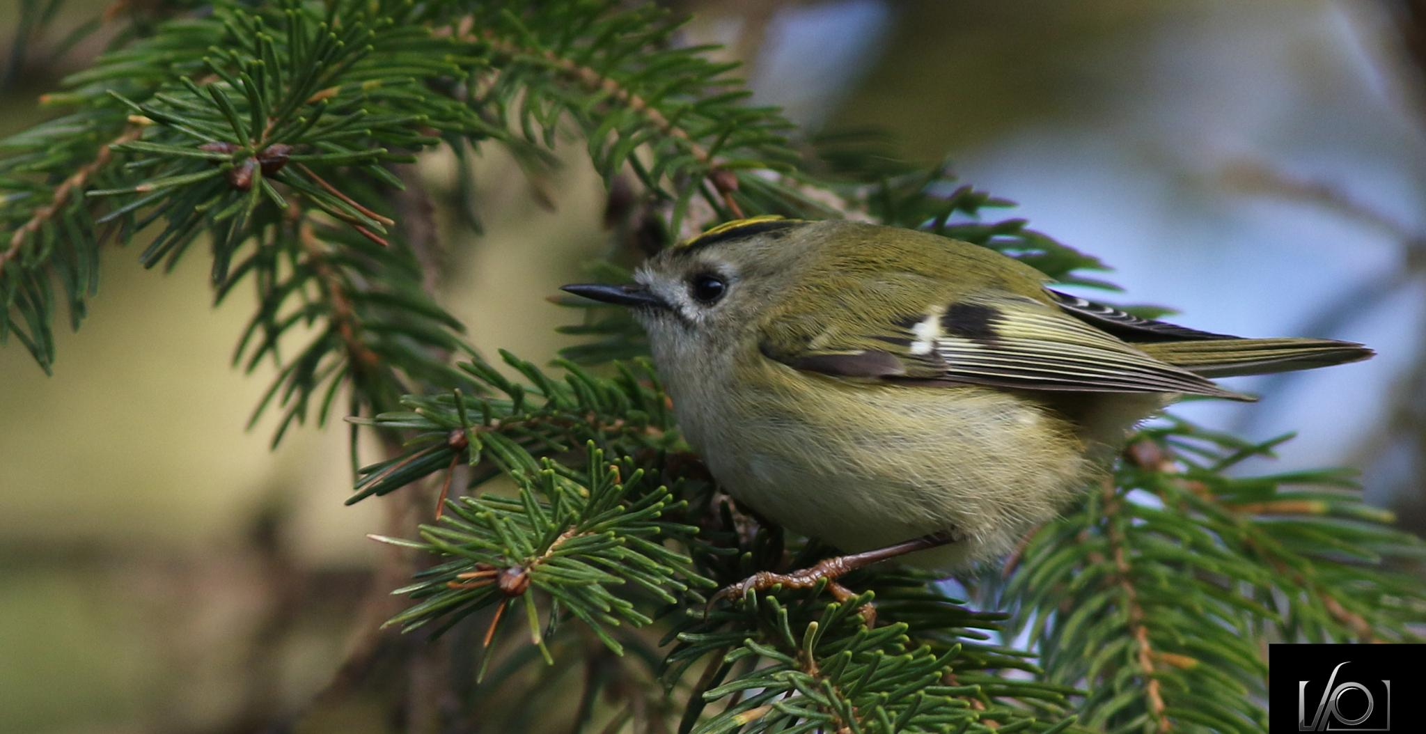 Nice little gold crest from this mornings walk by venetia.parkins