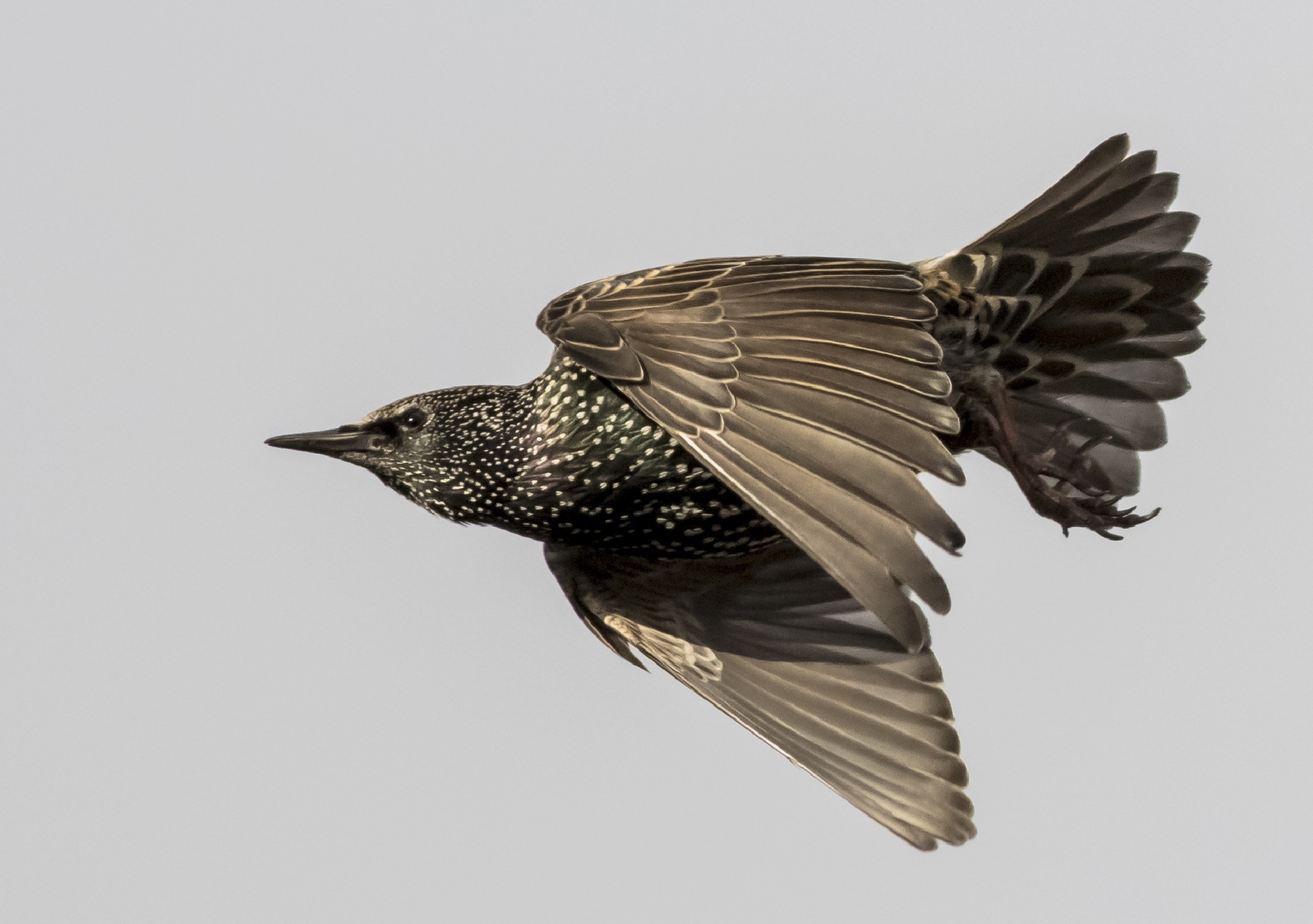 Starling by venetia.parkins