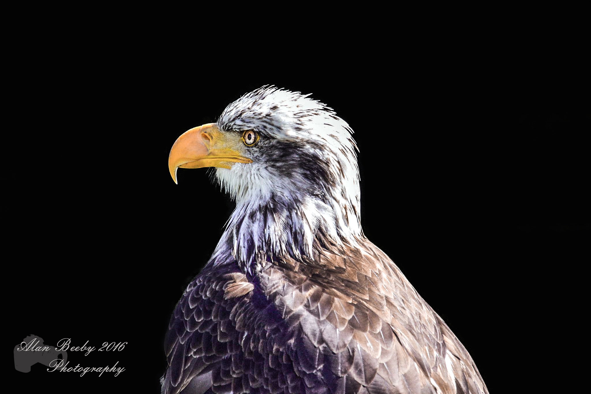 sea Eagle/zee Arend 2 by Alan beeby