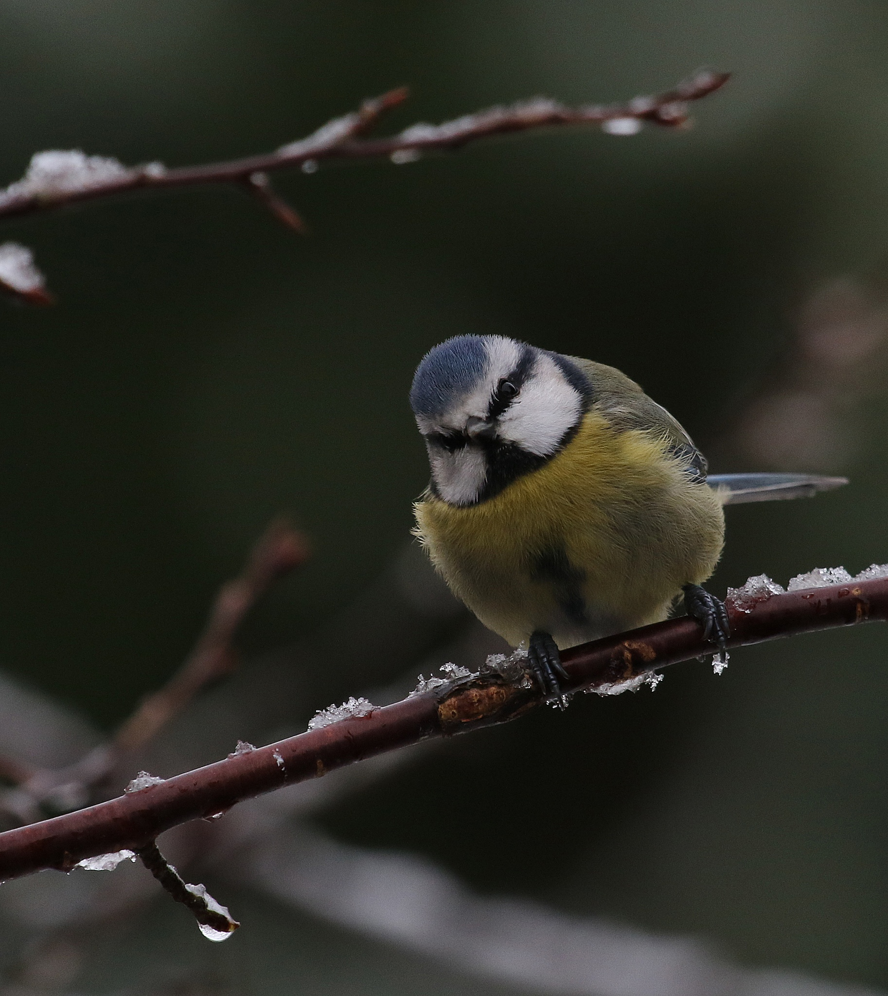 Icey Blue Tit  by Maxine Grundy