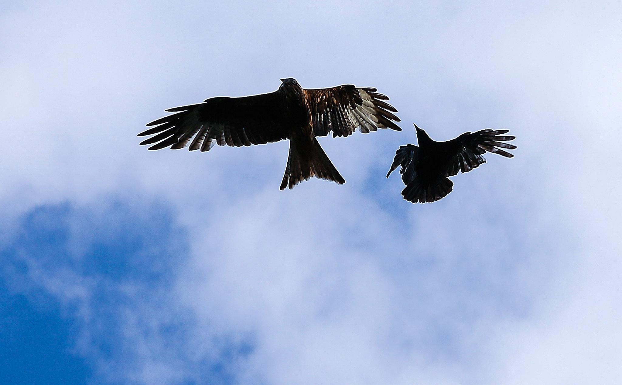 Kite Fight  by Maxine Grundy