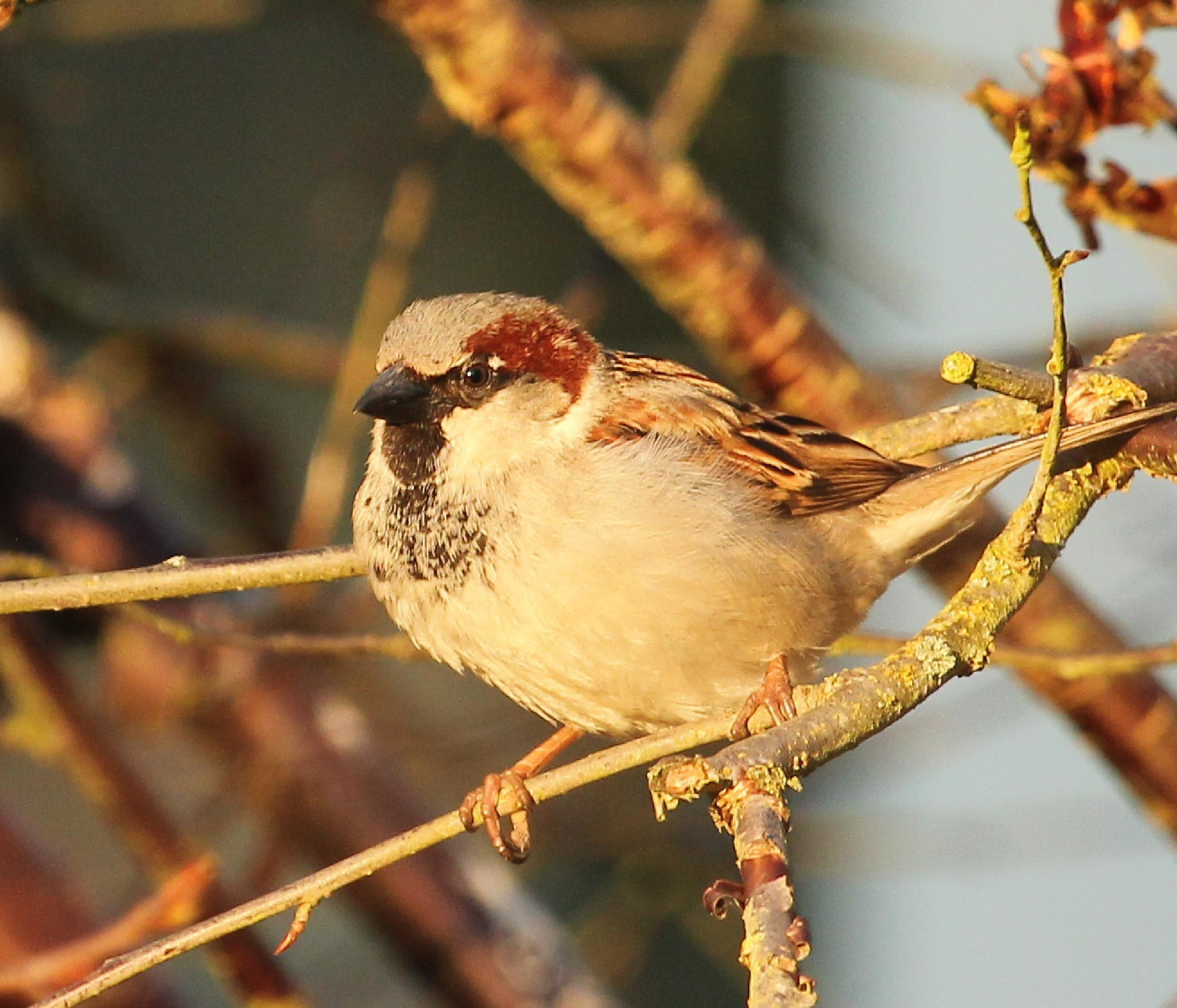 Sunny Sparrow  by Maxine Grundy