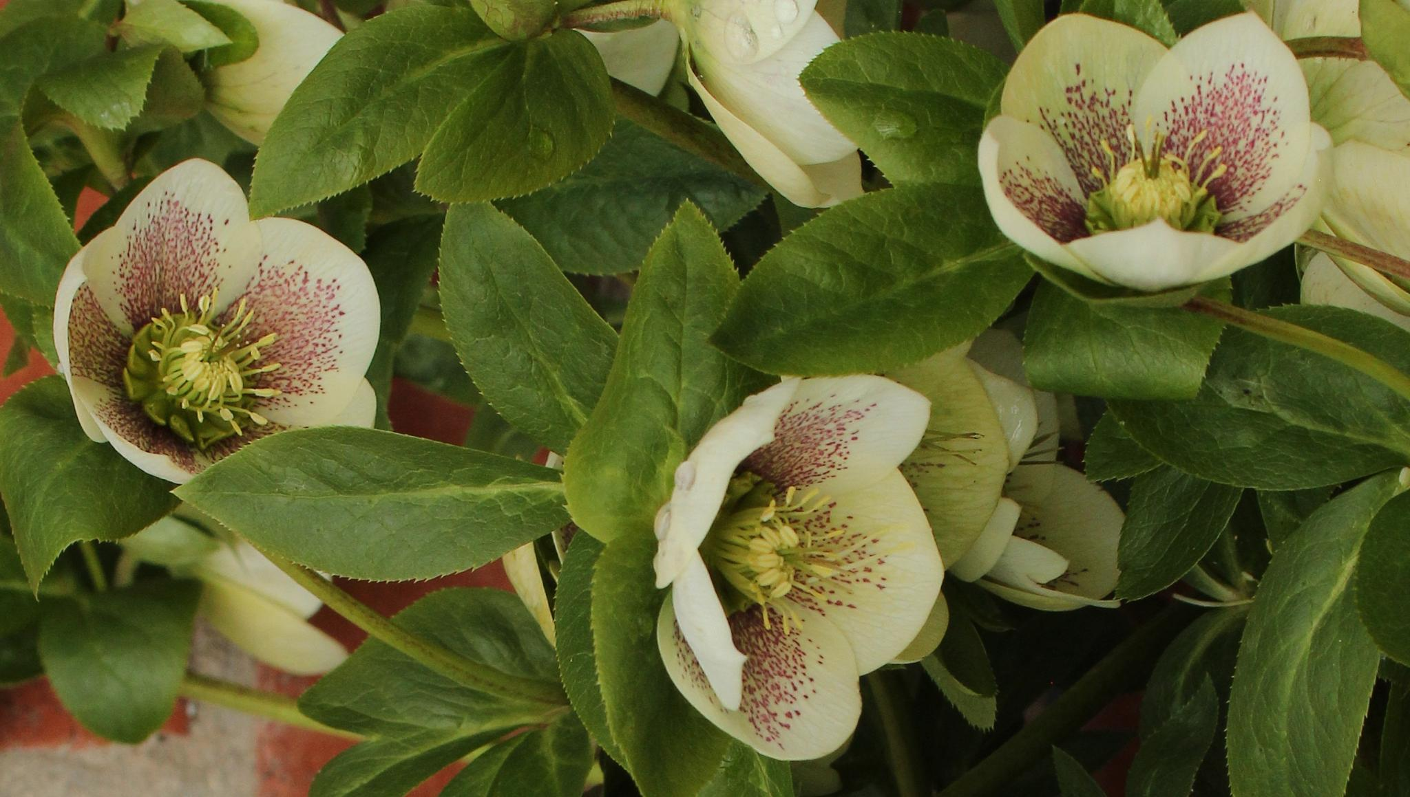 Hellebore by Maxine Grundy