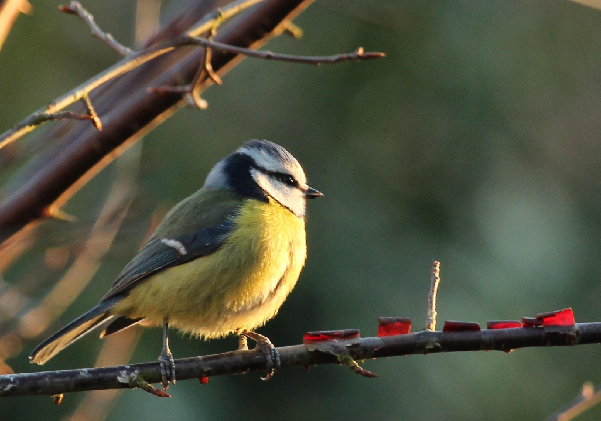 Photo in Animal #blue tit #small bird #bird