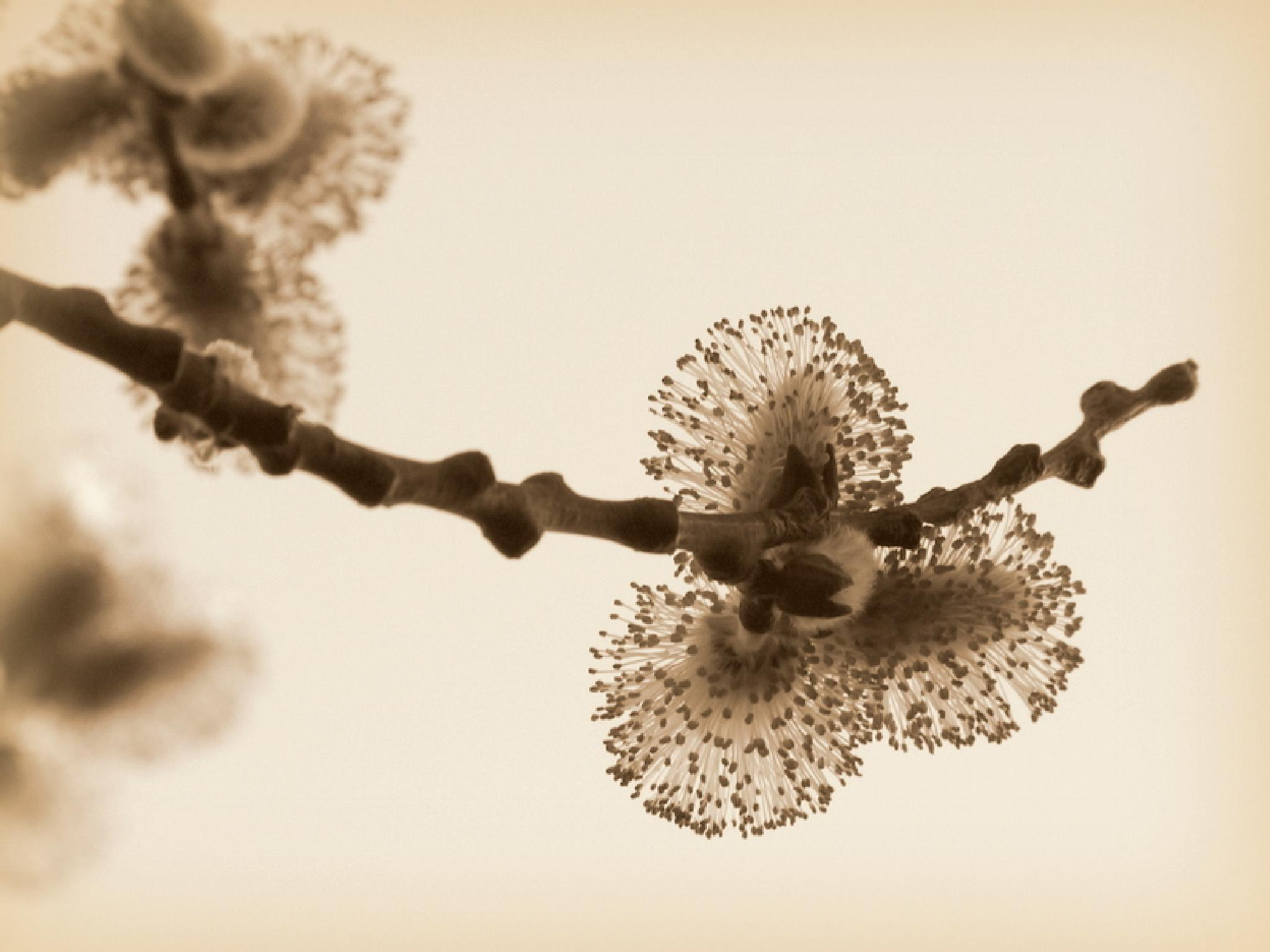 catkins in sepia by Ulrike Schorn-Hoffert