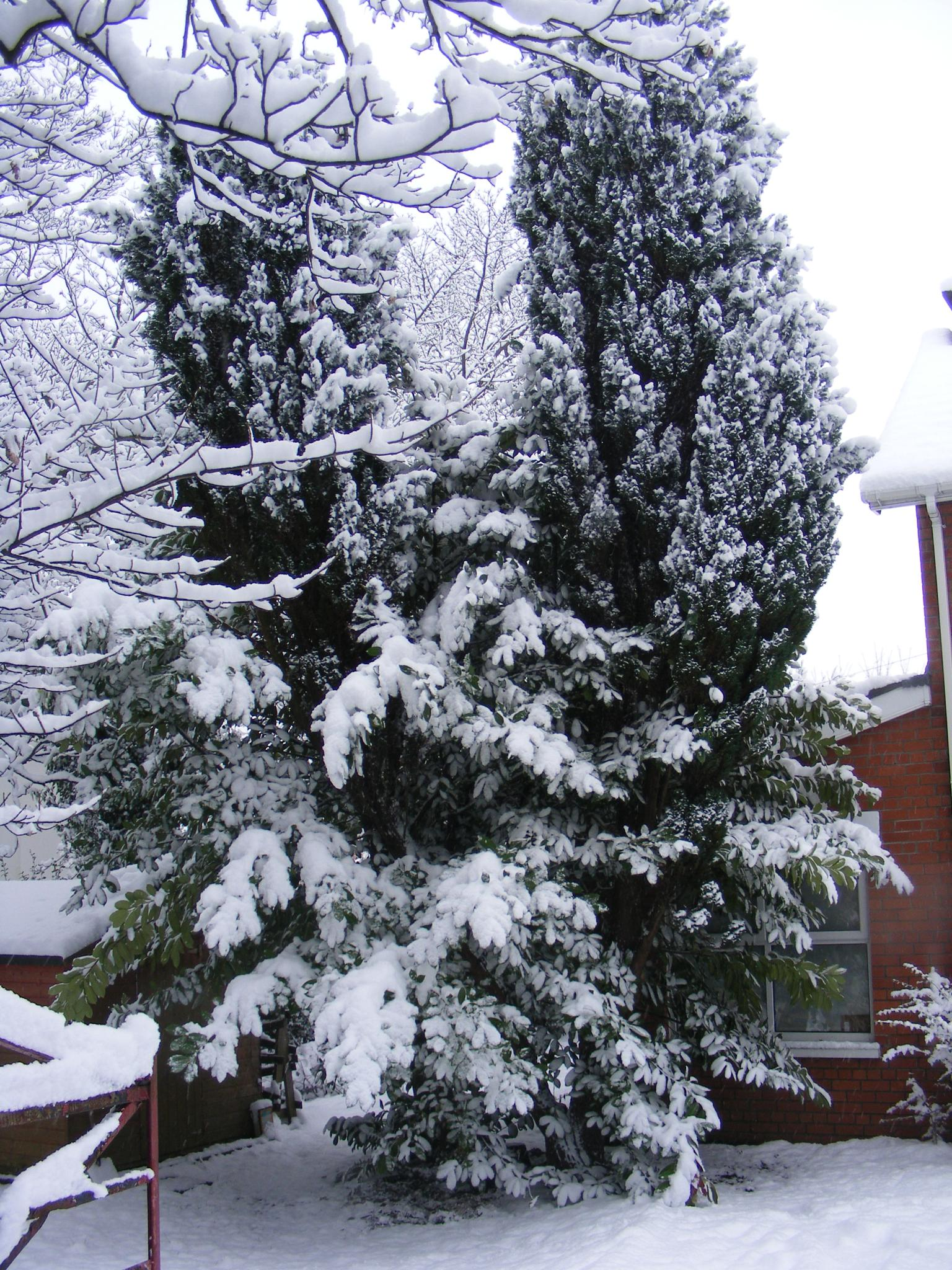 Snow on tree by andy.morrow.315