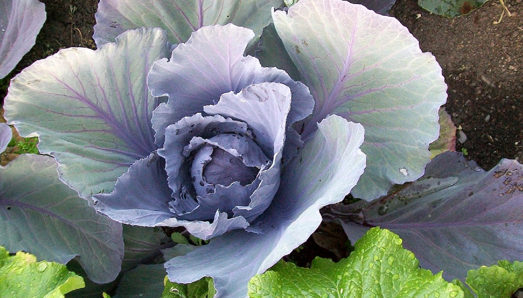 cabbage2 by ehayman27