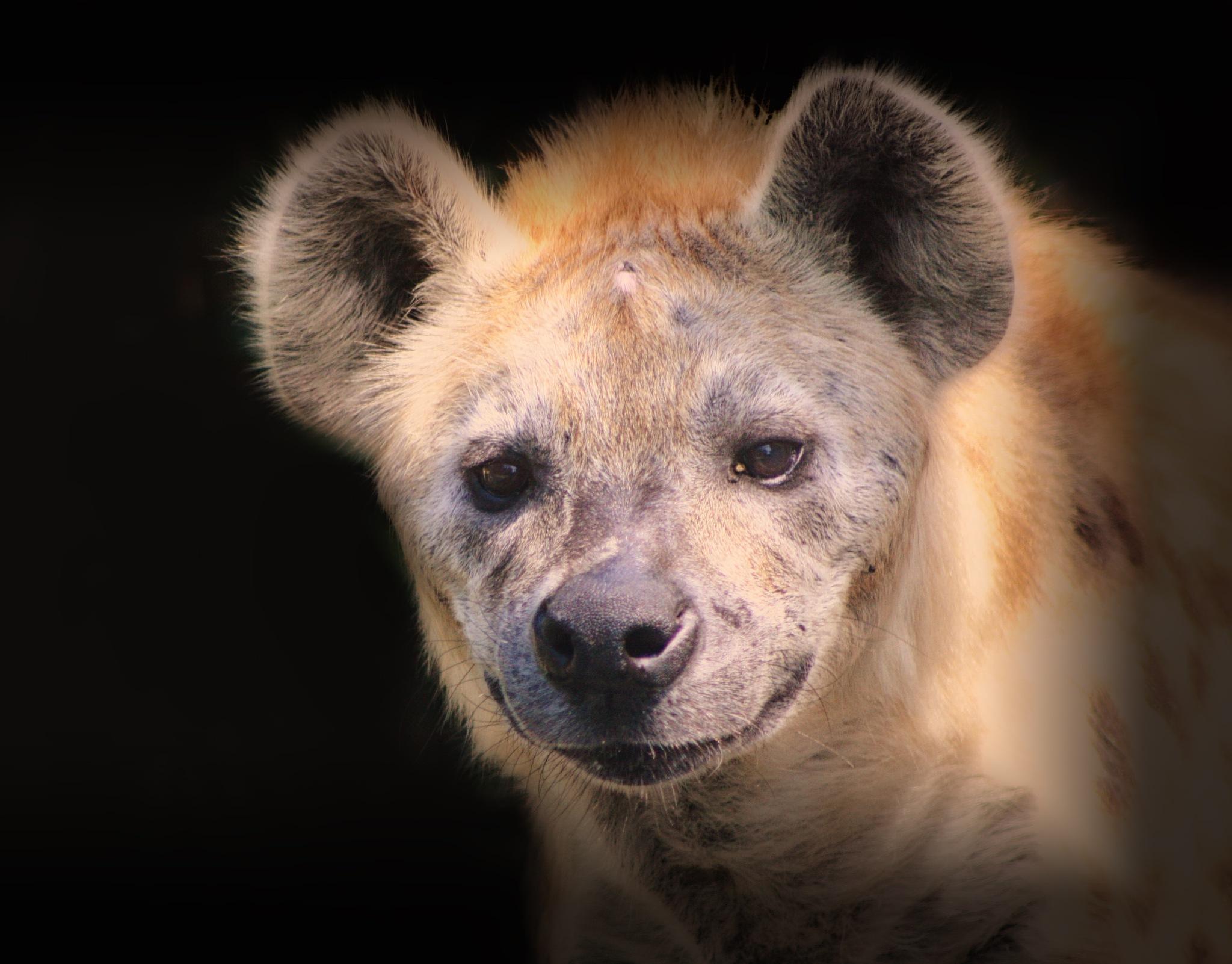 Hyena by Henrik T. Sørensen