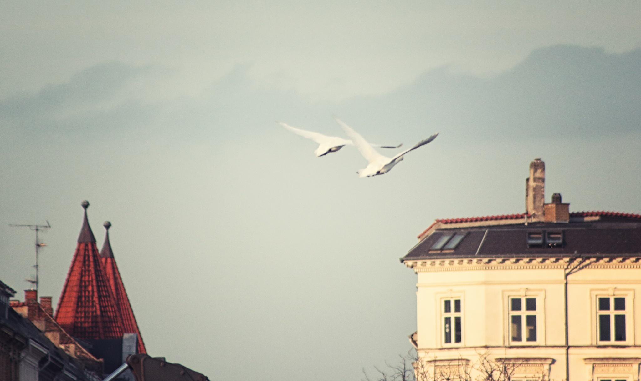 City Swans by Henrik T. Sørensen