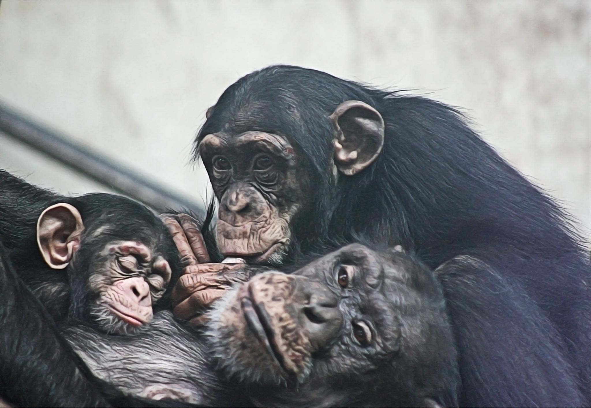 Chimpanzees by Henrik T. Sørensen