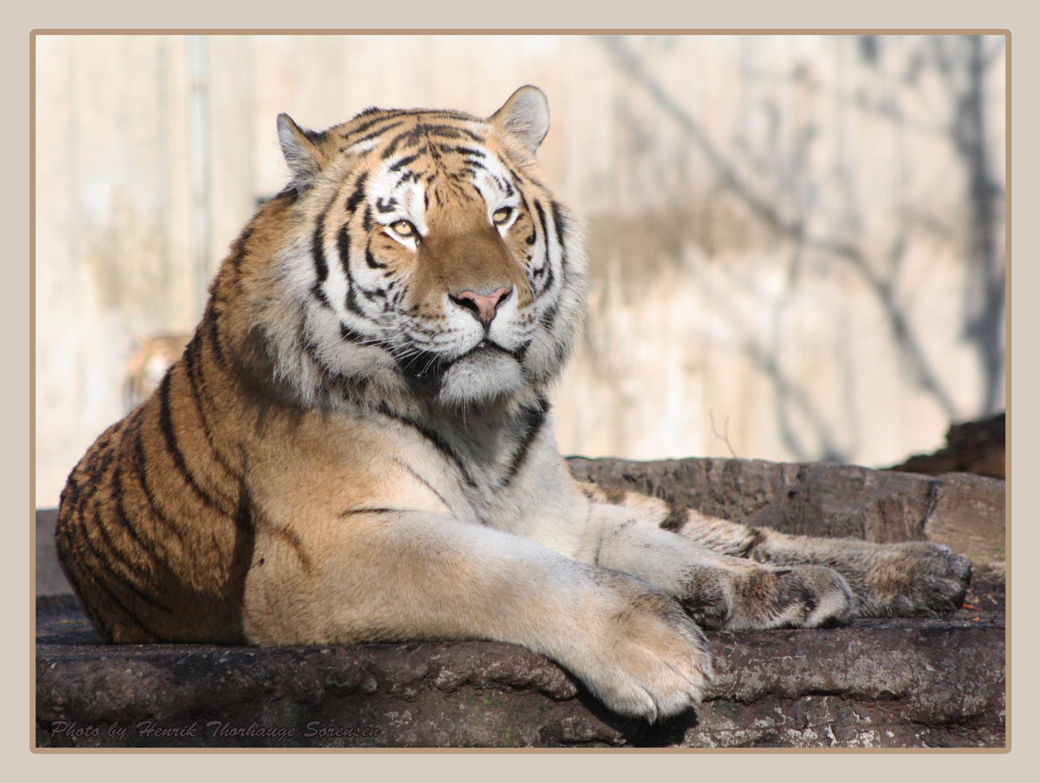 Amur Tiger by Henrik T. Sørensen