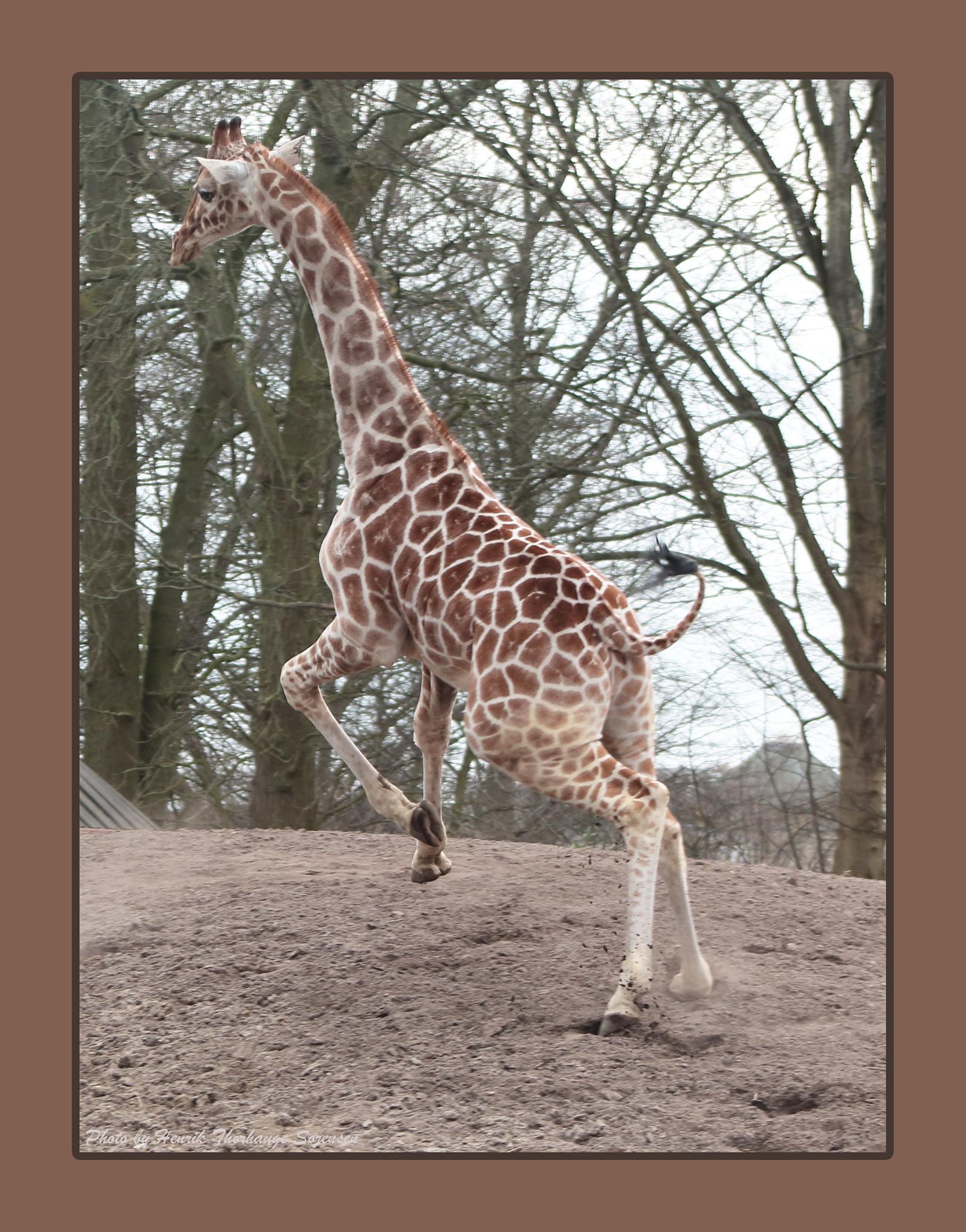 Giraffe by Henrik T. Sørensen