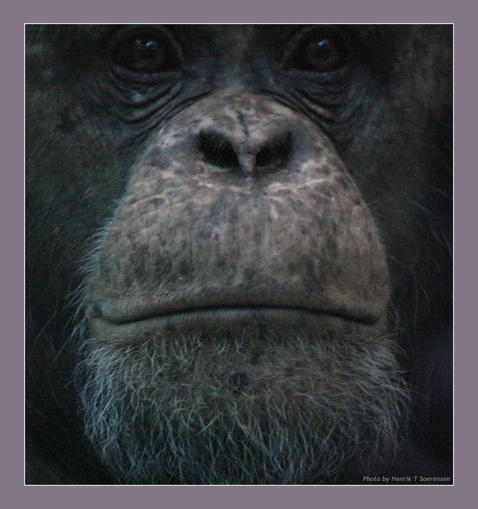 Chimpanzee by Henrik T. Sørensen