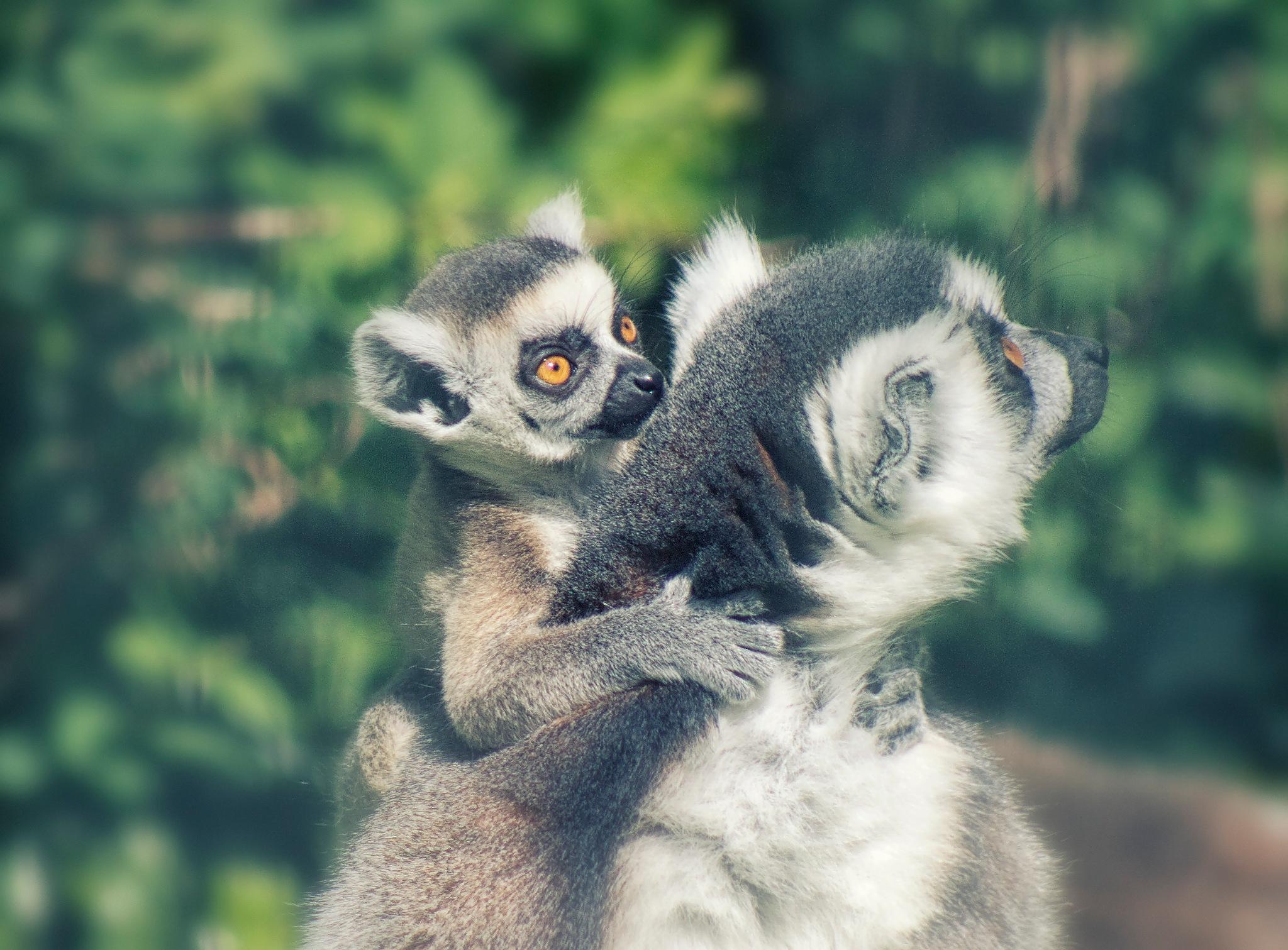Lemurs by Henrik T. Sørensen