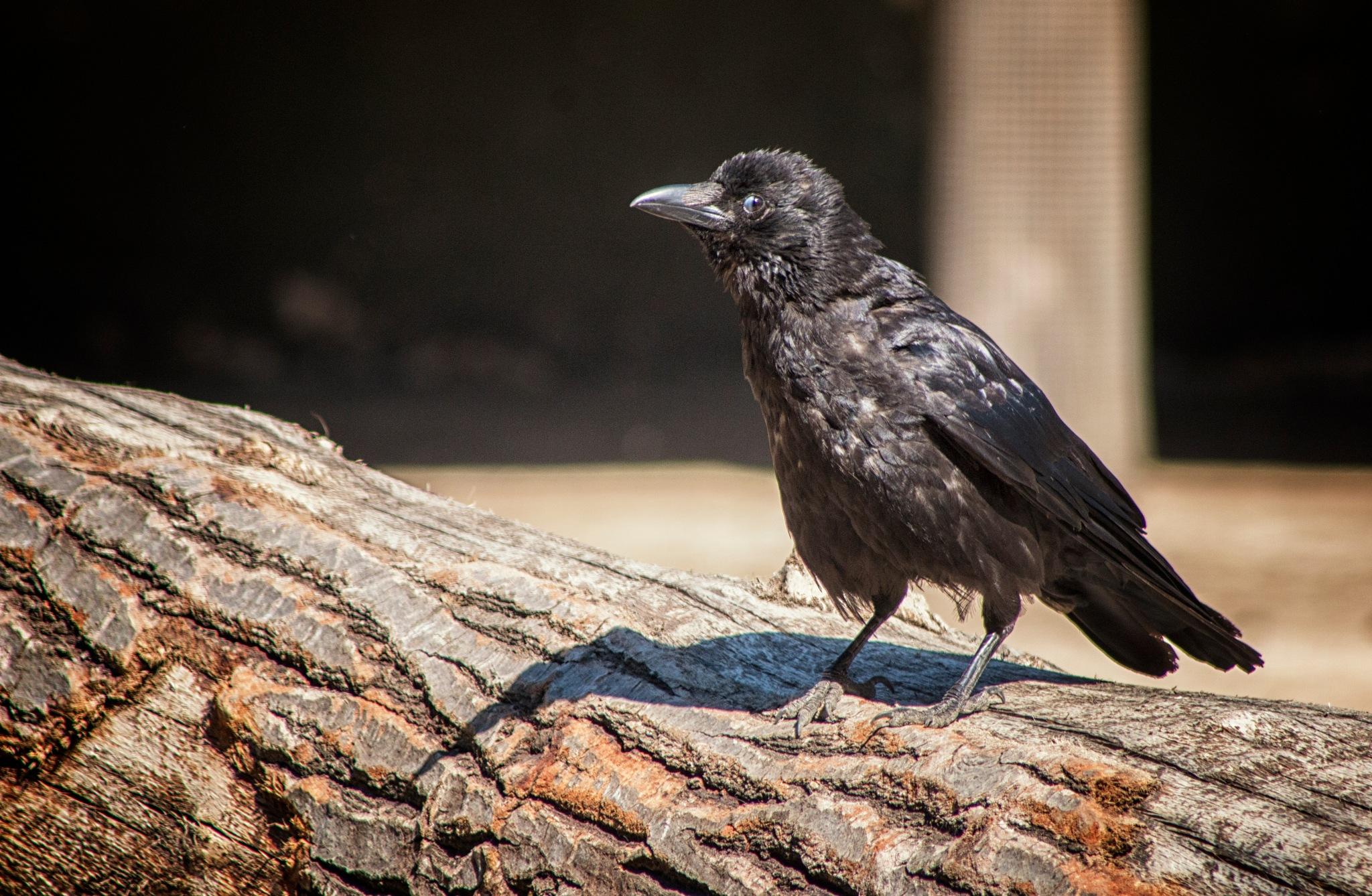 Crow by Henrik T. Sørensen