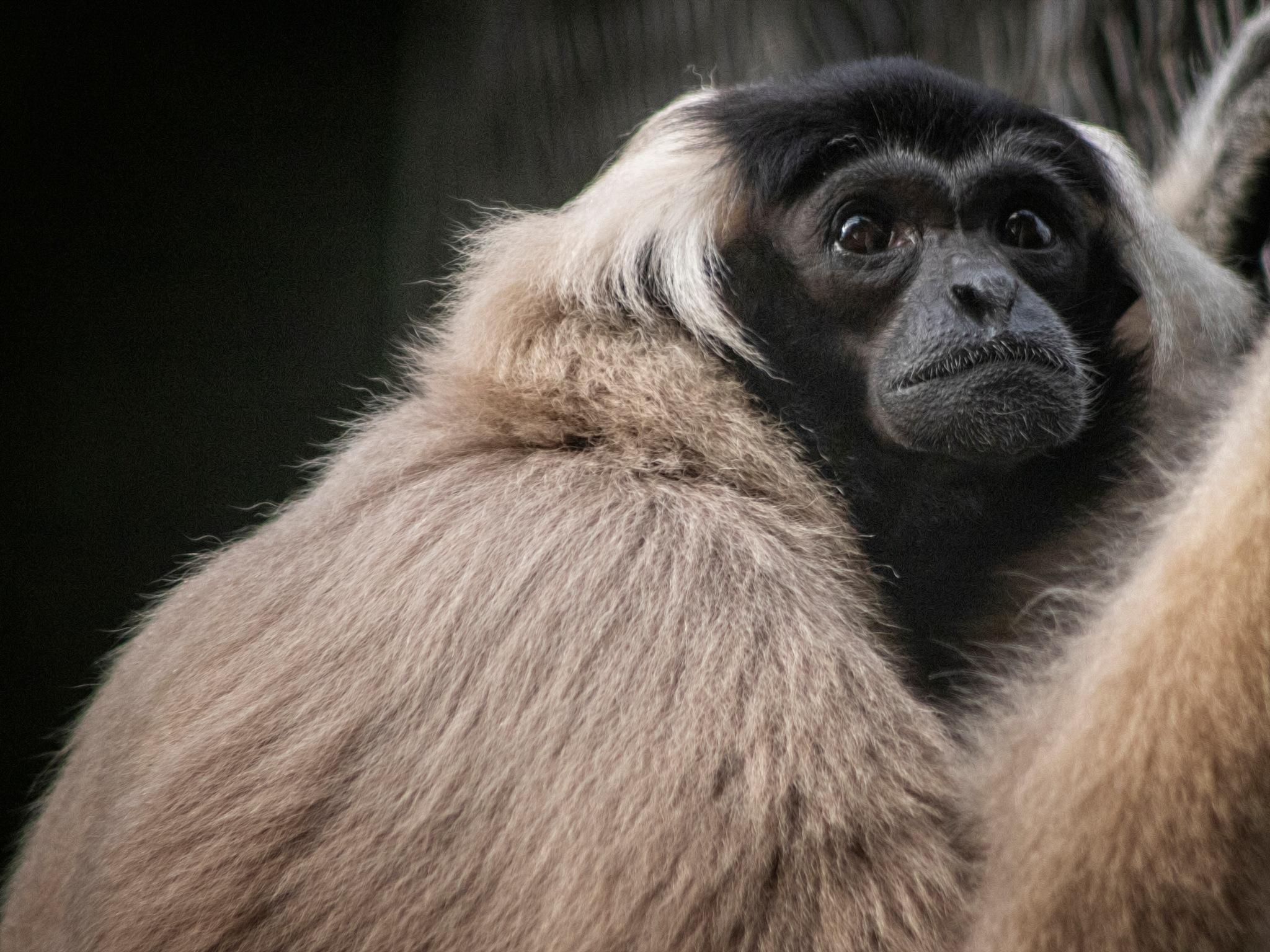 Gibbon by Henrik T. Sørensen