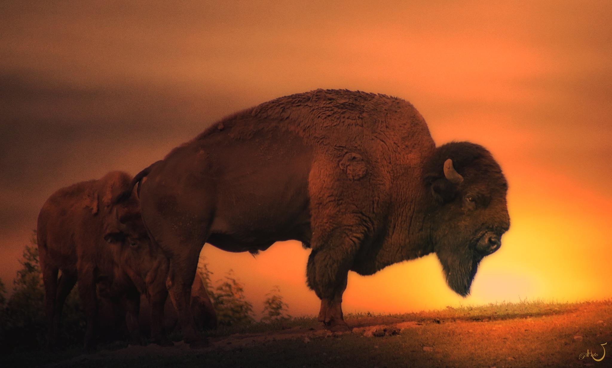 Buffalo dreams by Henrik T. Sørensen