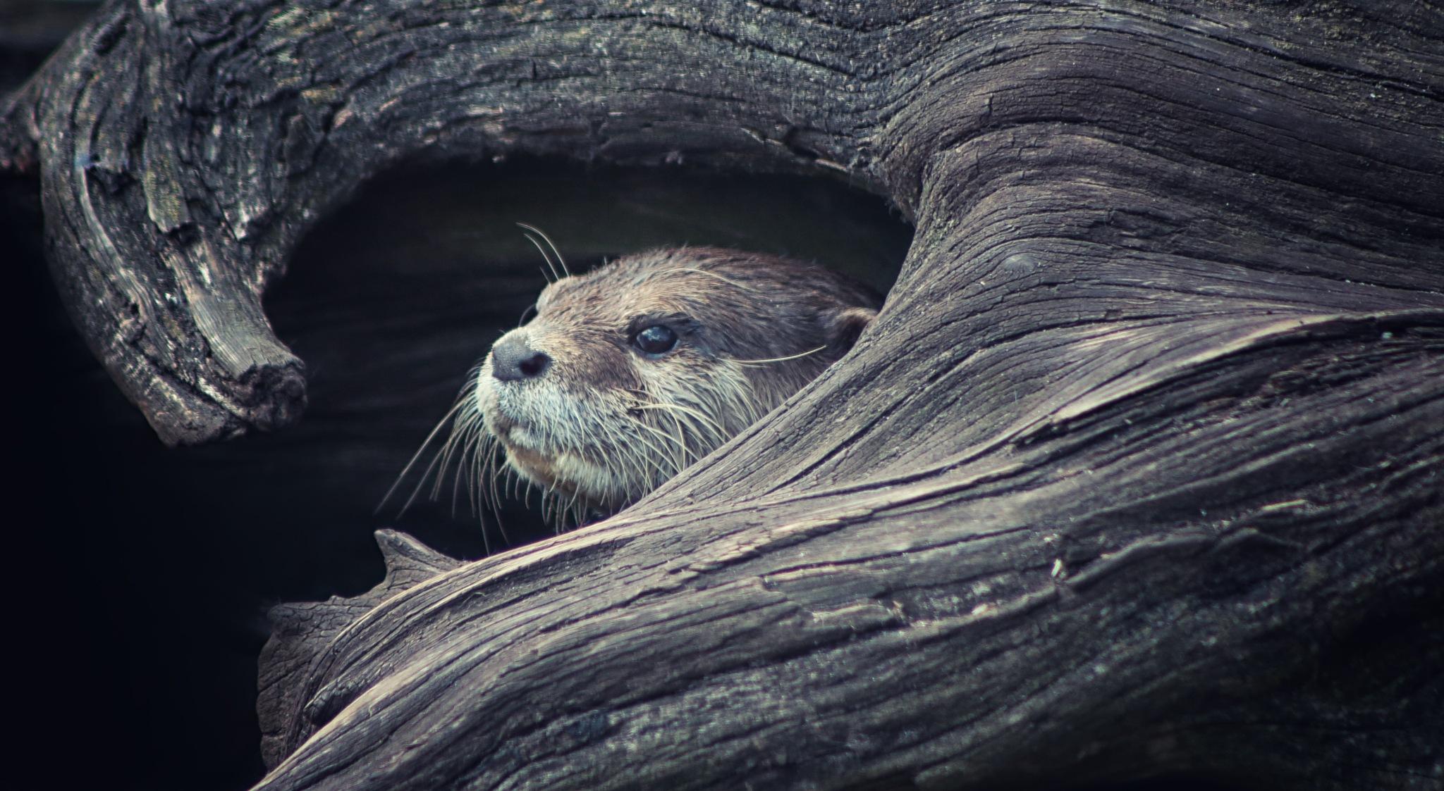 Otter by Henrik T. Sørensen