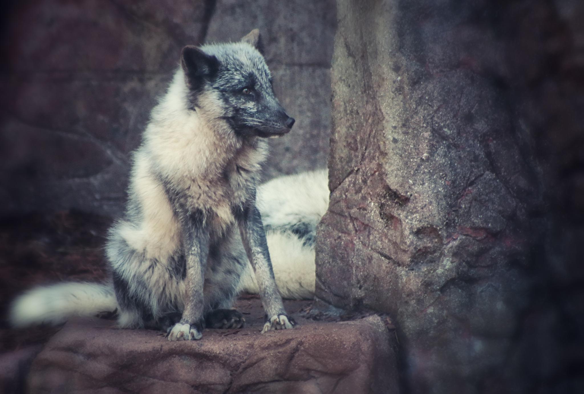 Polar Fox by Henrik T. Sørensen