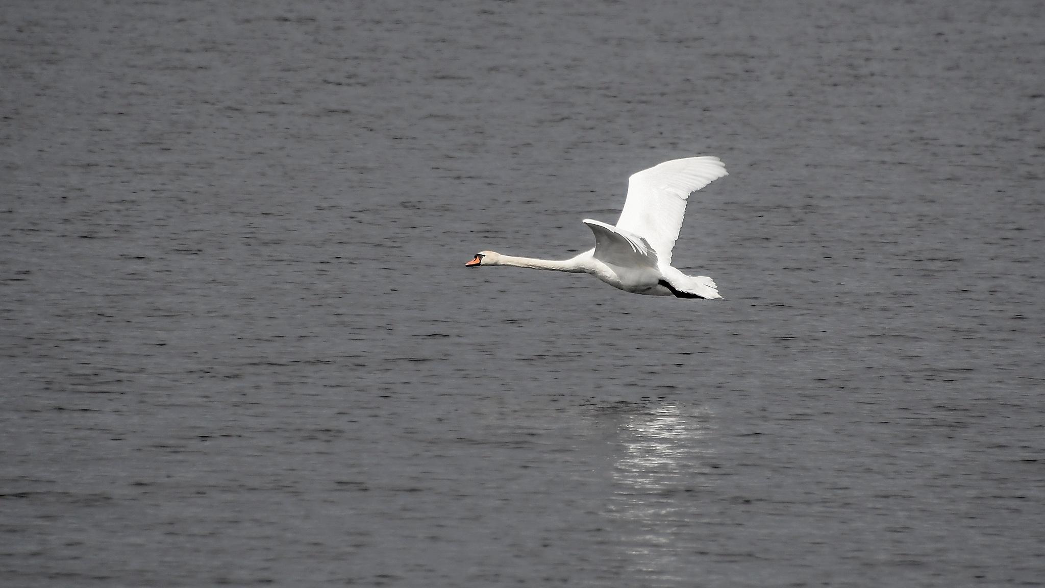 Swan by Kjell Lundqvist