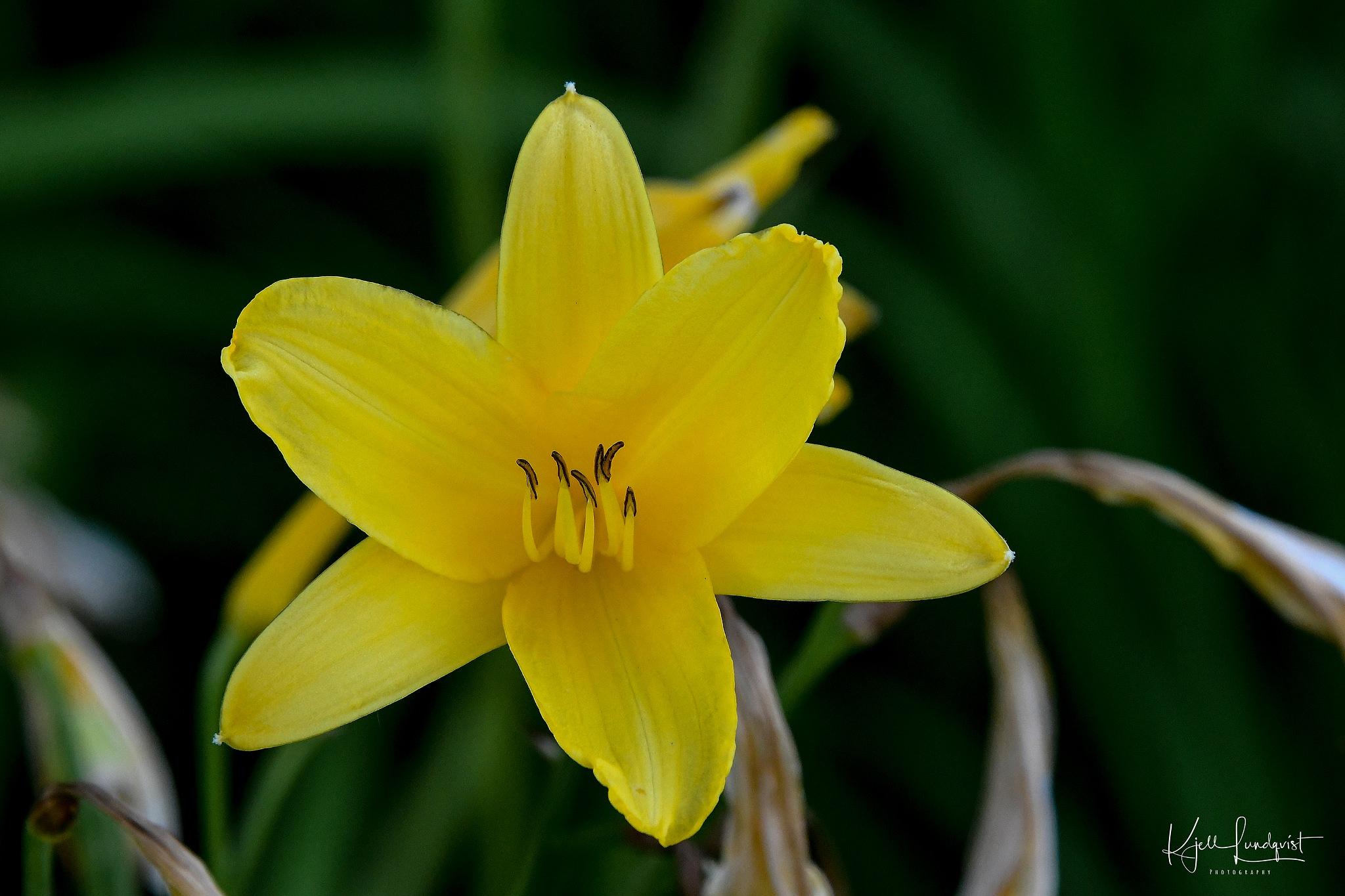 Yellow by Kjell Lundqvist