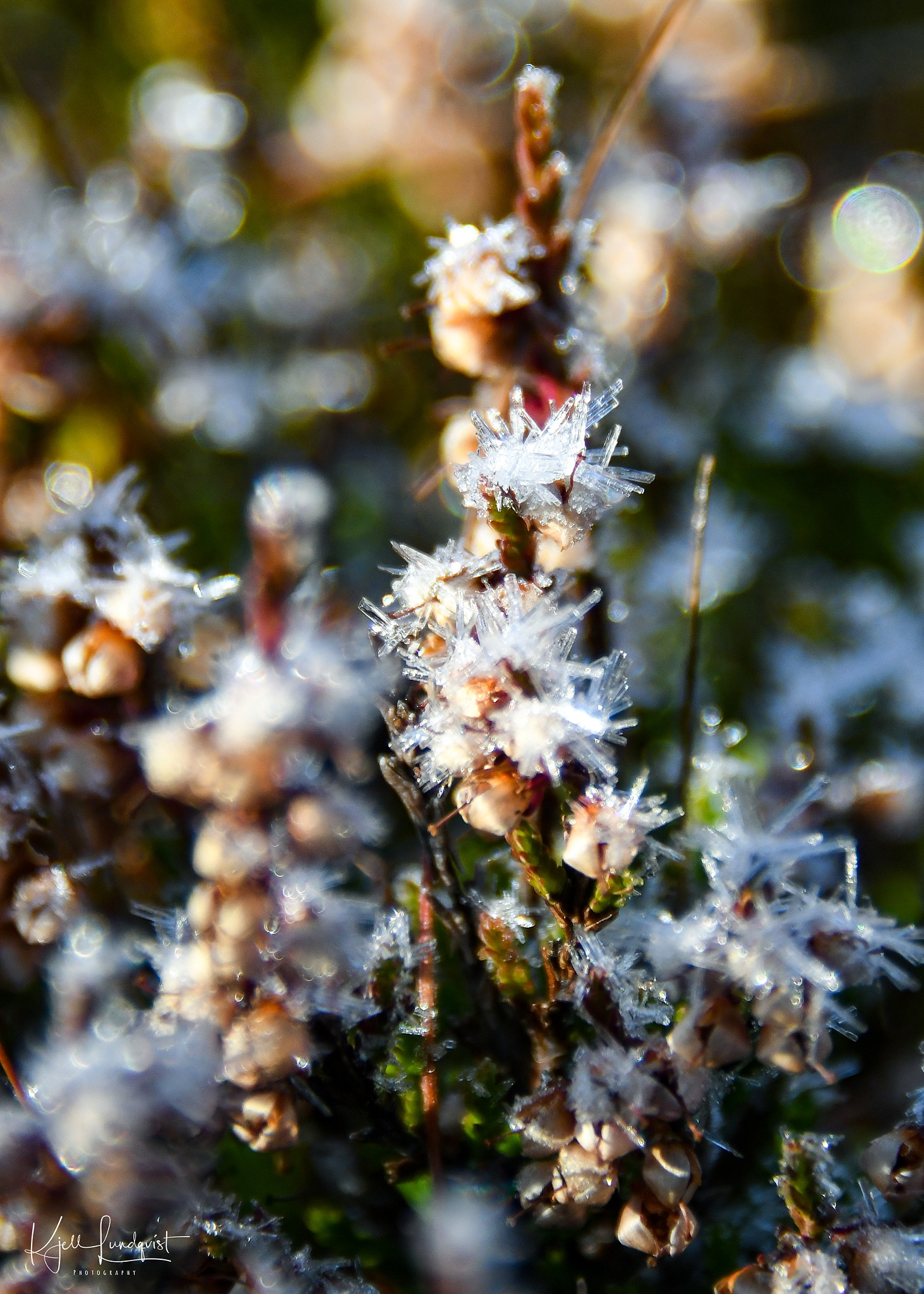 Ice crystal heather flower by Kjell Lundqvist