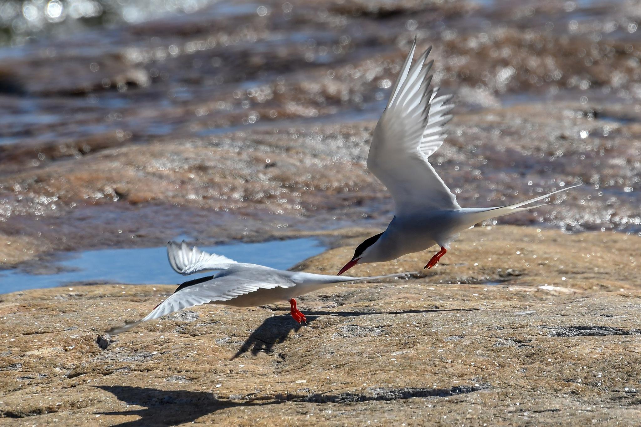Tern birds by Kjell Lundqvist