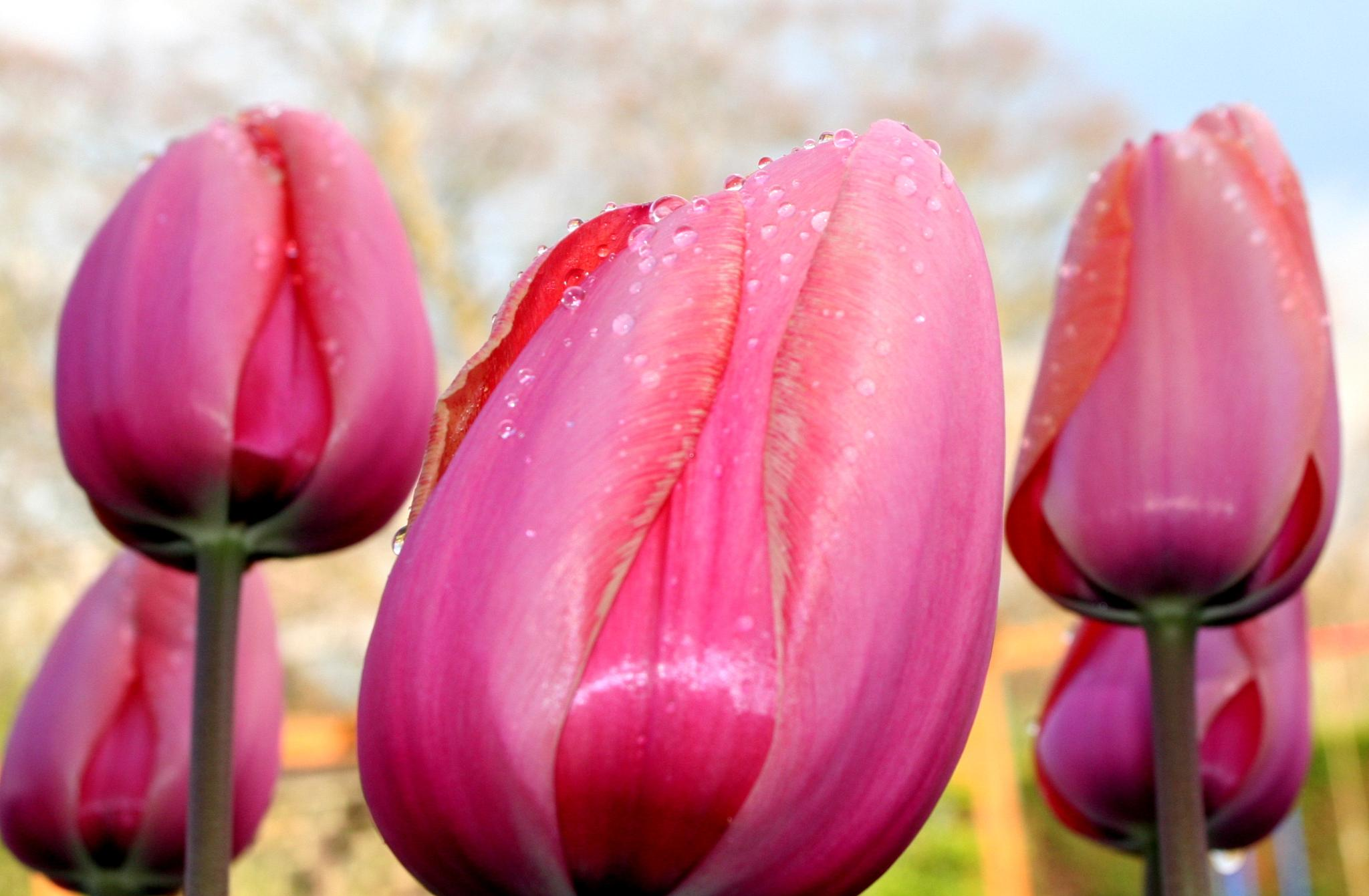 Tulips after the Rain by Tatjana Truswell