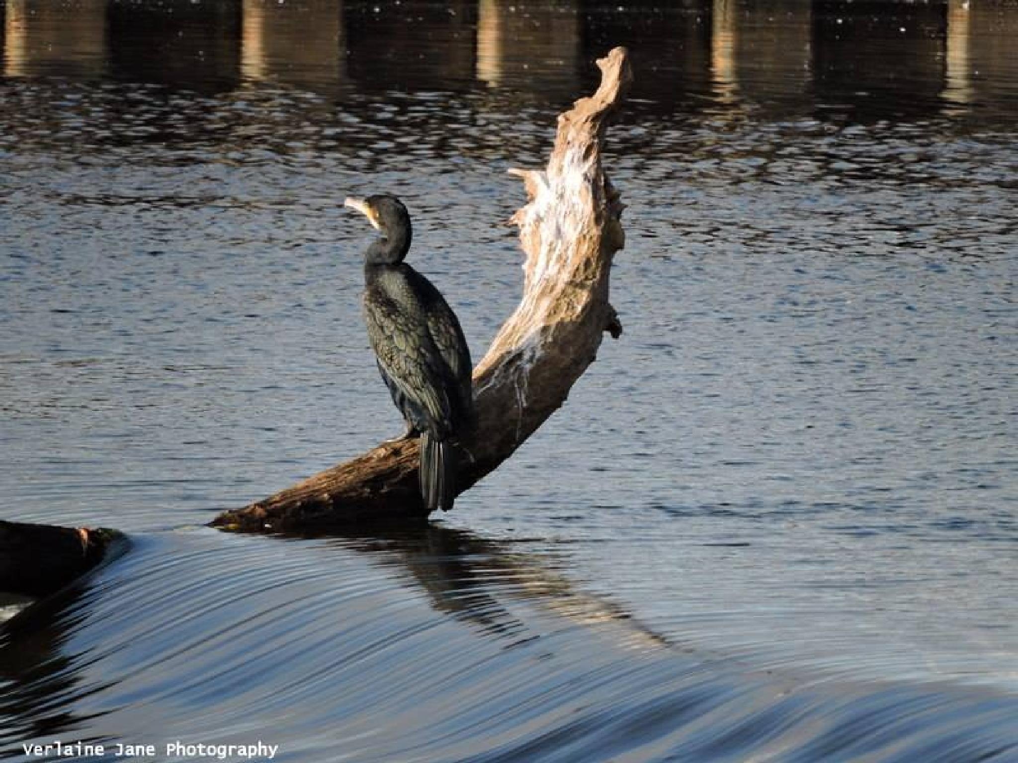 CORMORANT by verlaine.jane