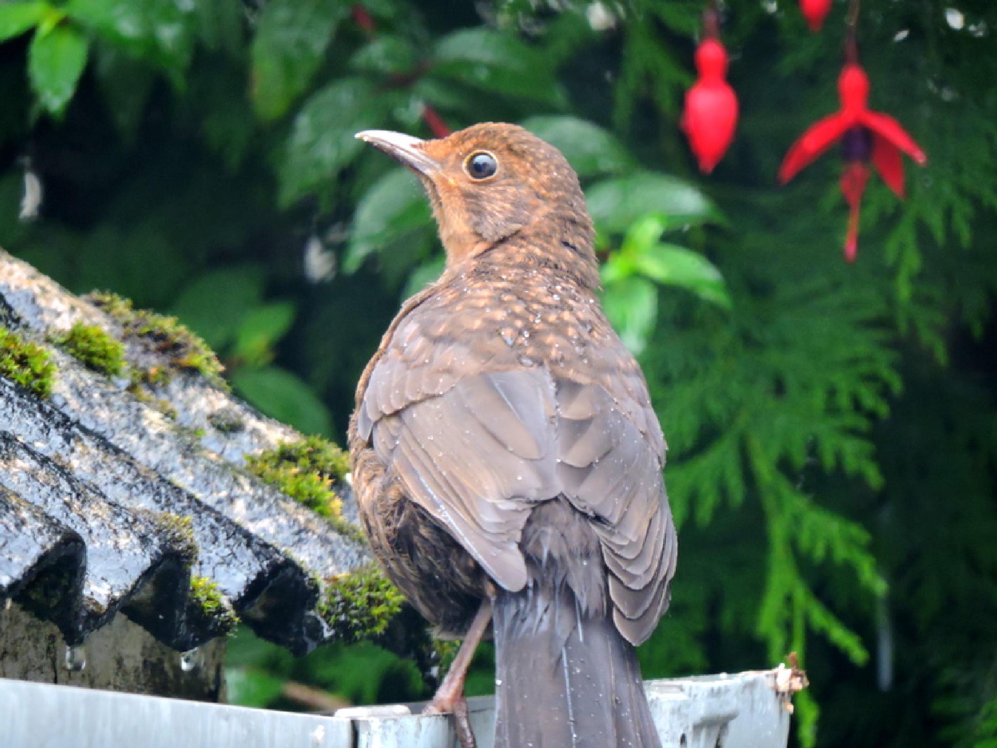Baby Blackbird by verlaine.jane