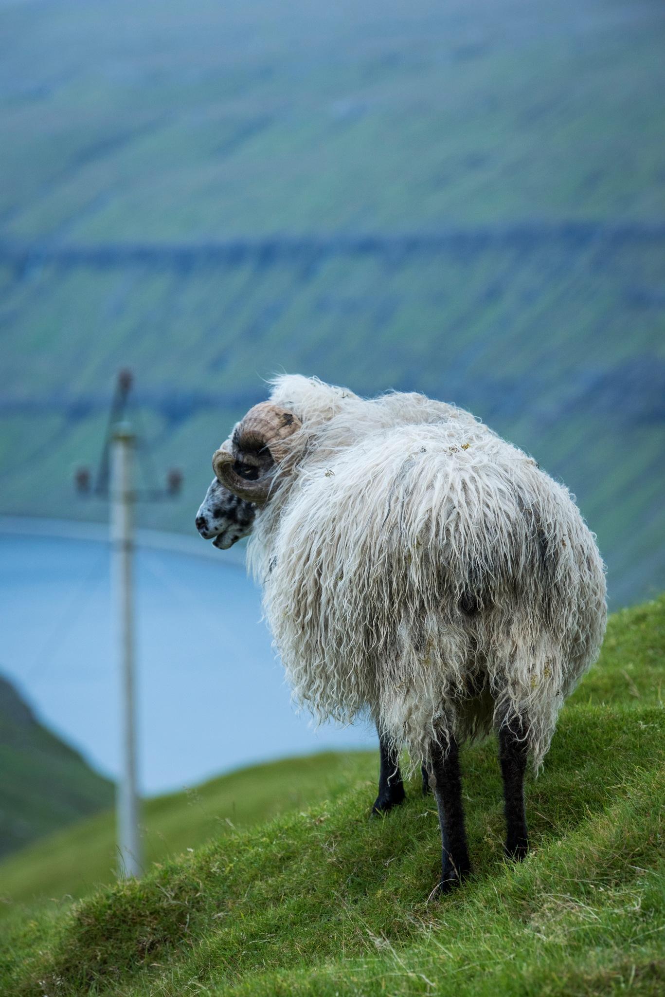 The Ram by harald bjørgvin