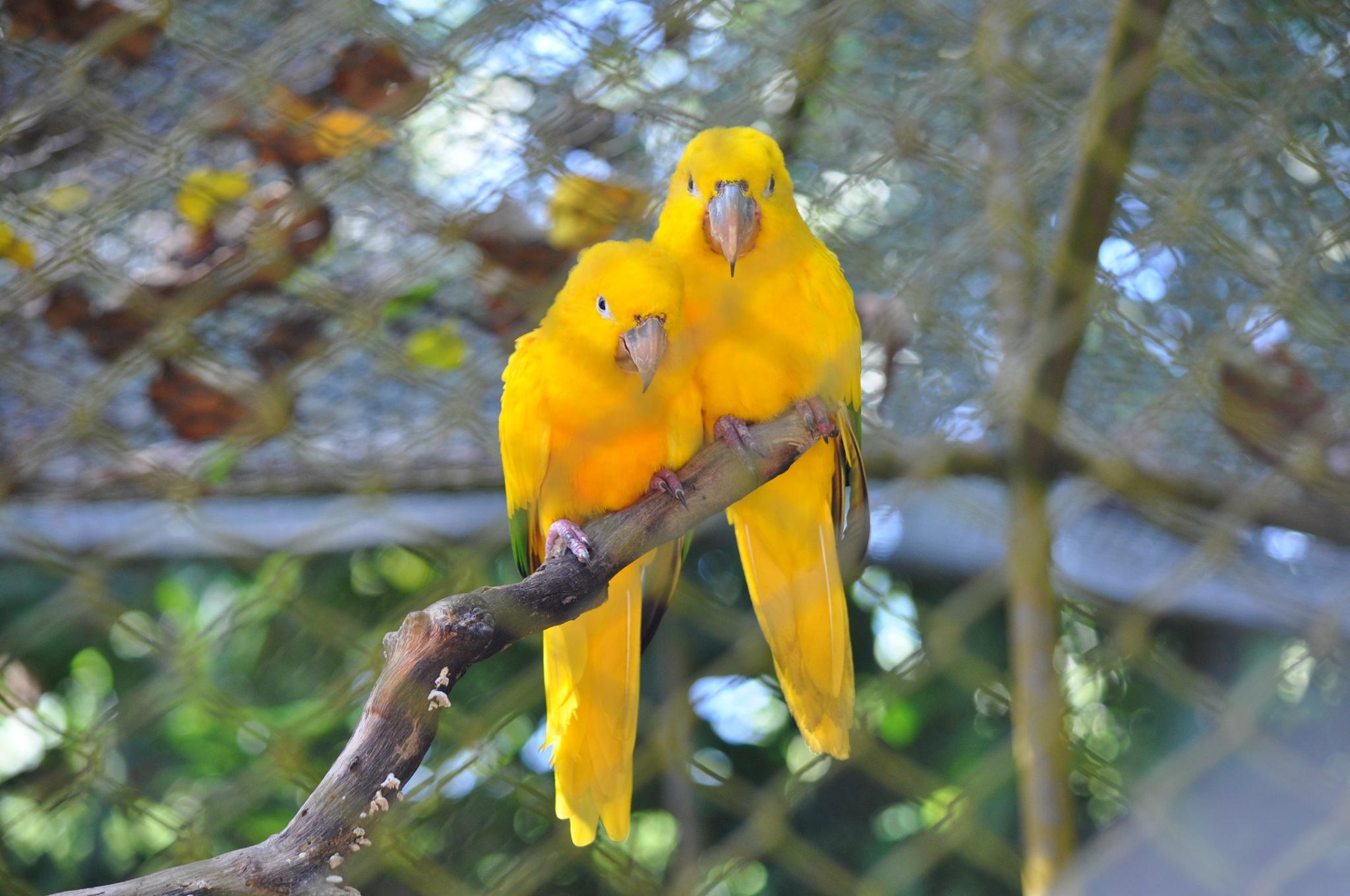 The Golden Parakeet (Guaruba guarouba) - 01 by paulo.filho.18847