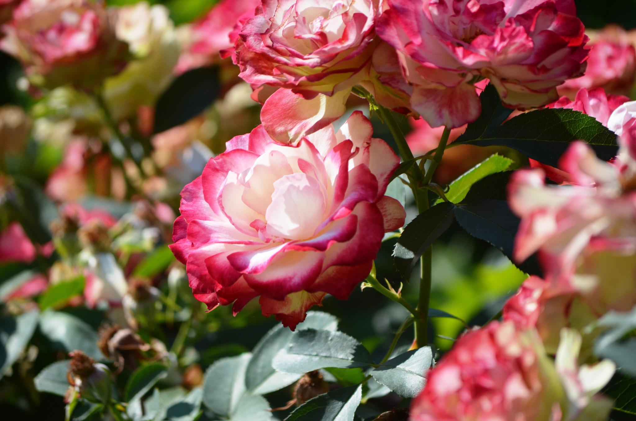 Rose Bush by AdaMariePhotography