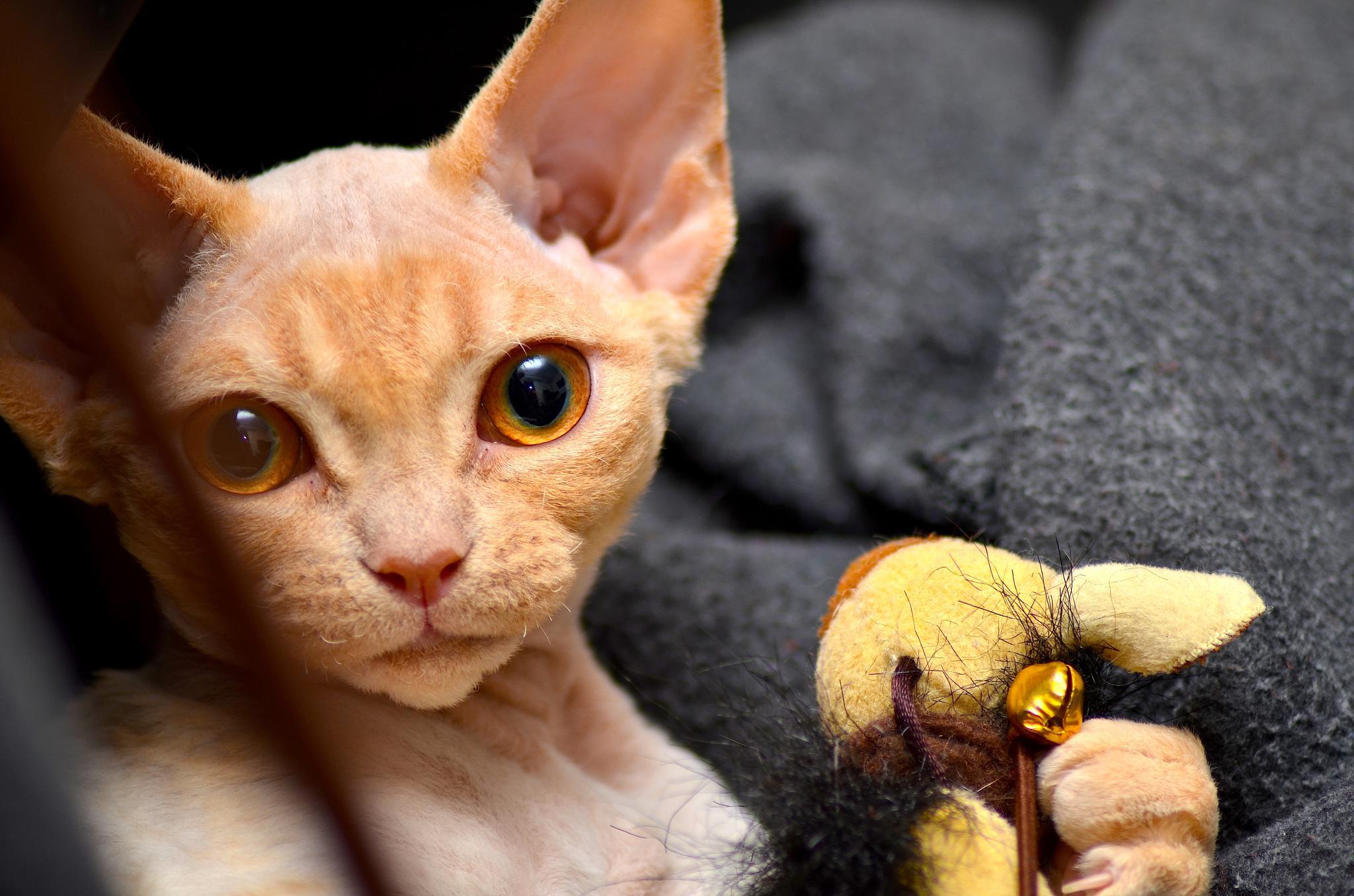Photo in Animal #cat #devonrex #animals #sweden