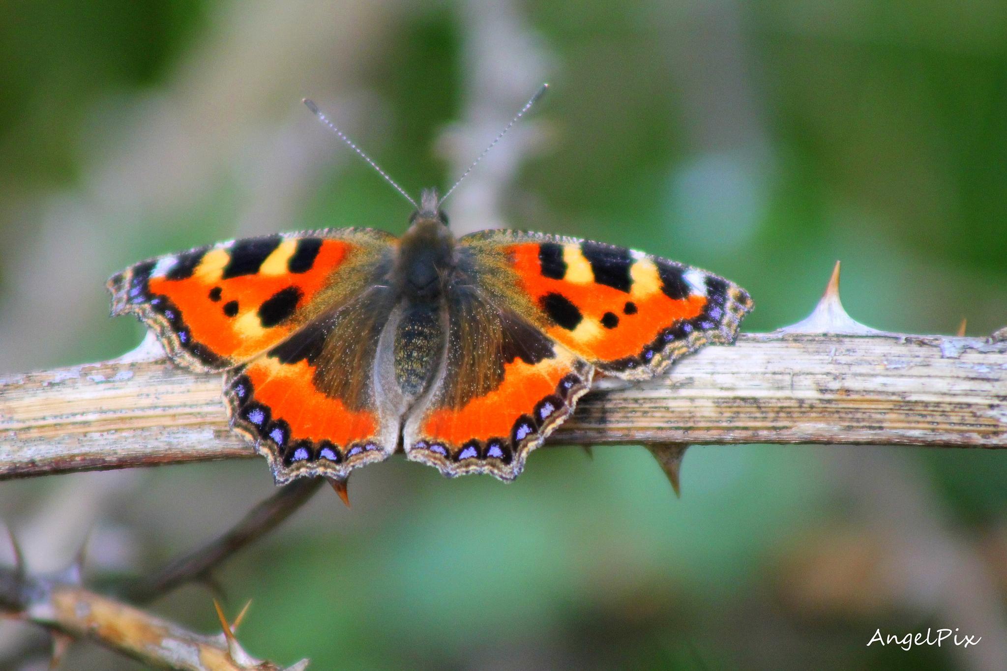 Butterflies  by AngelPixCN