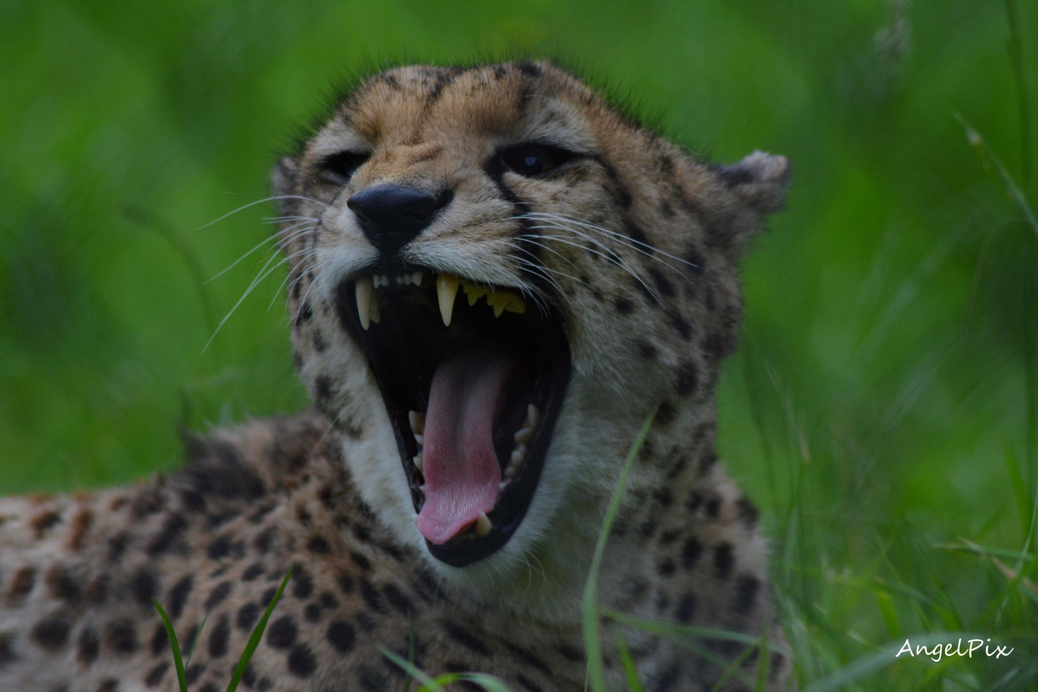 Cheetah by AngelPixCN