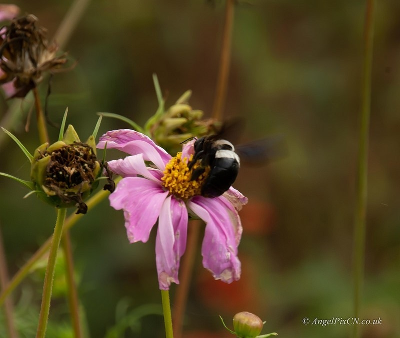 Bumble bee  by AngelPixCN