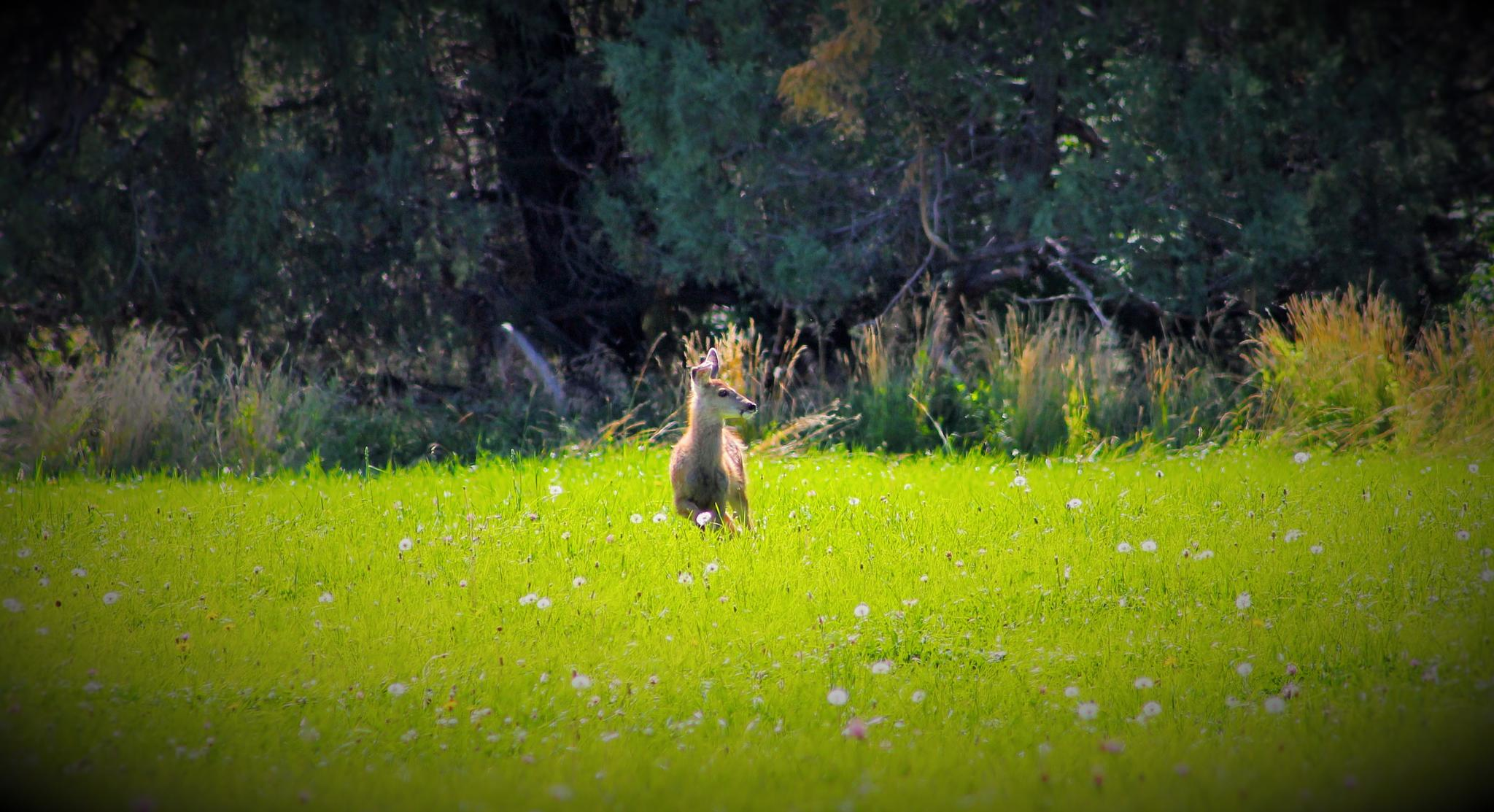 Baby Mulie and Dandelions by Birdd's Eye View
