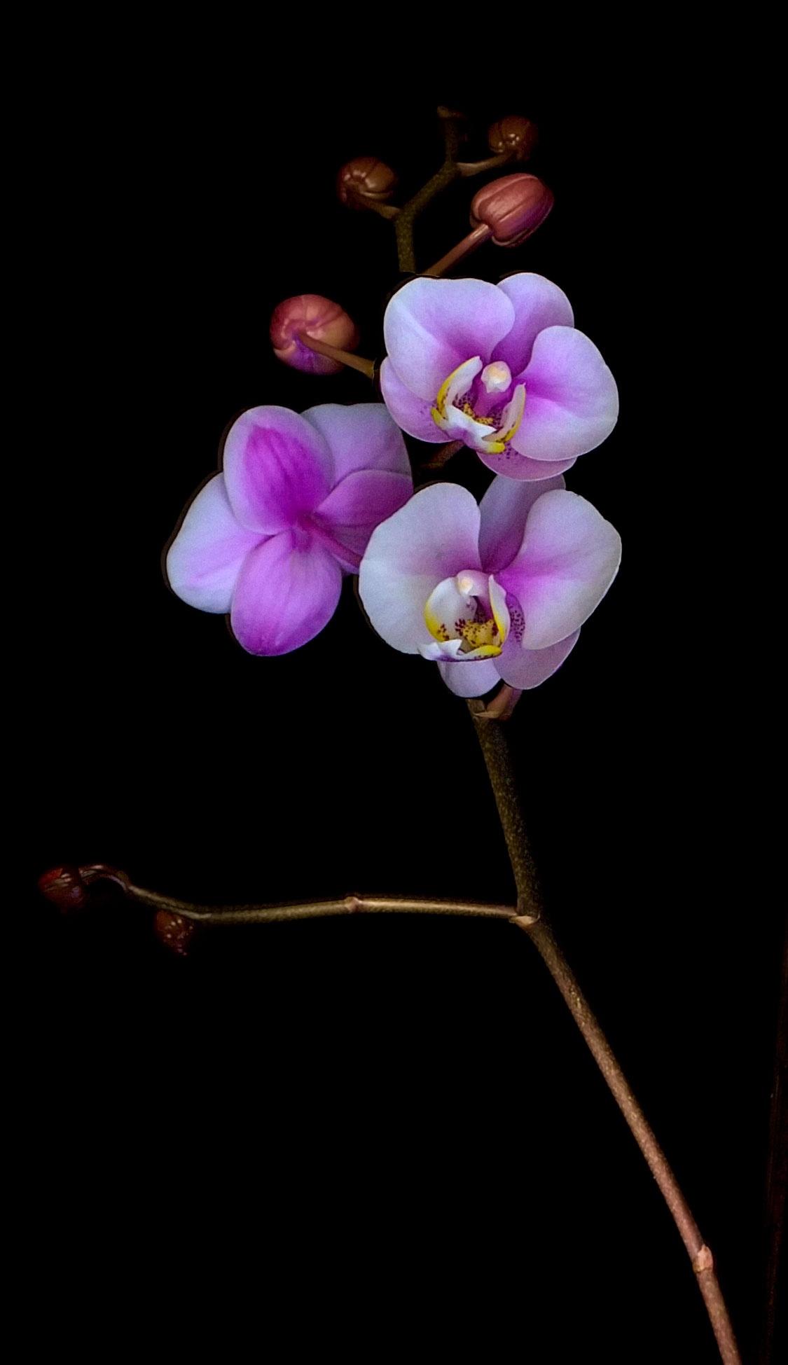 Orchid by von.hatch