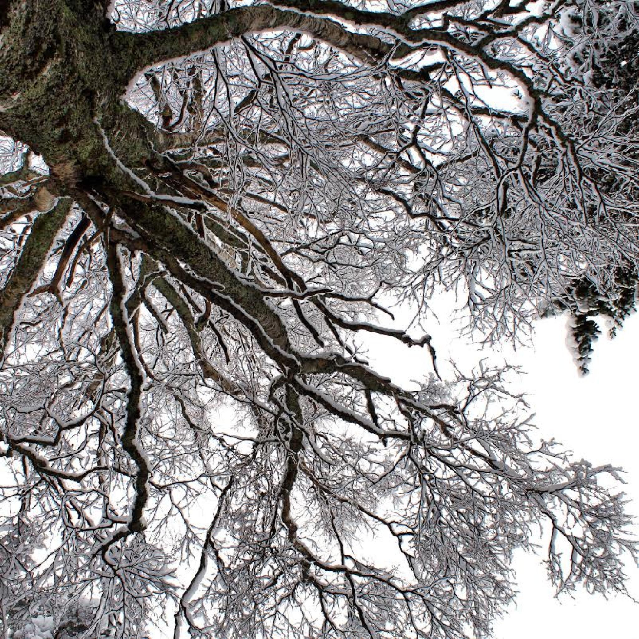 icy birch by fotofredrica