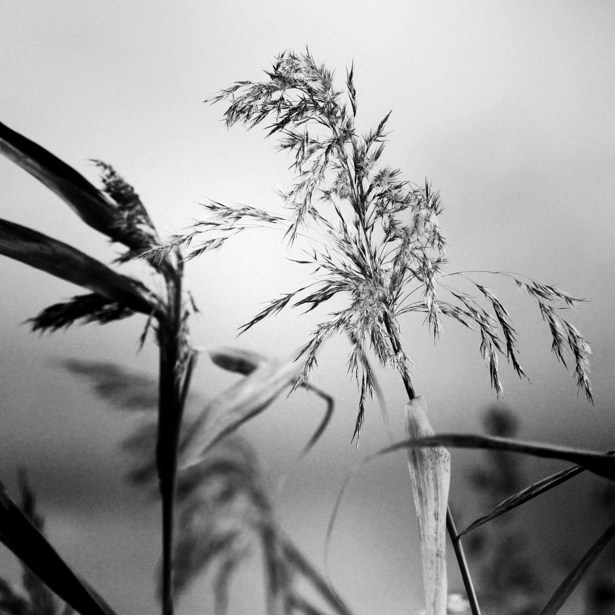 reed by fotofredrica